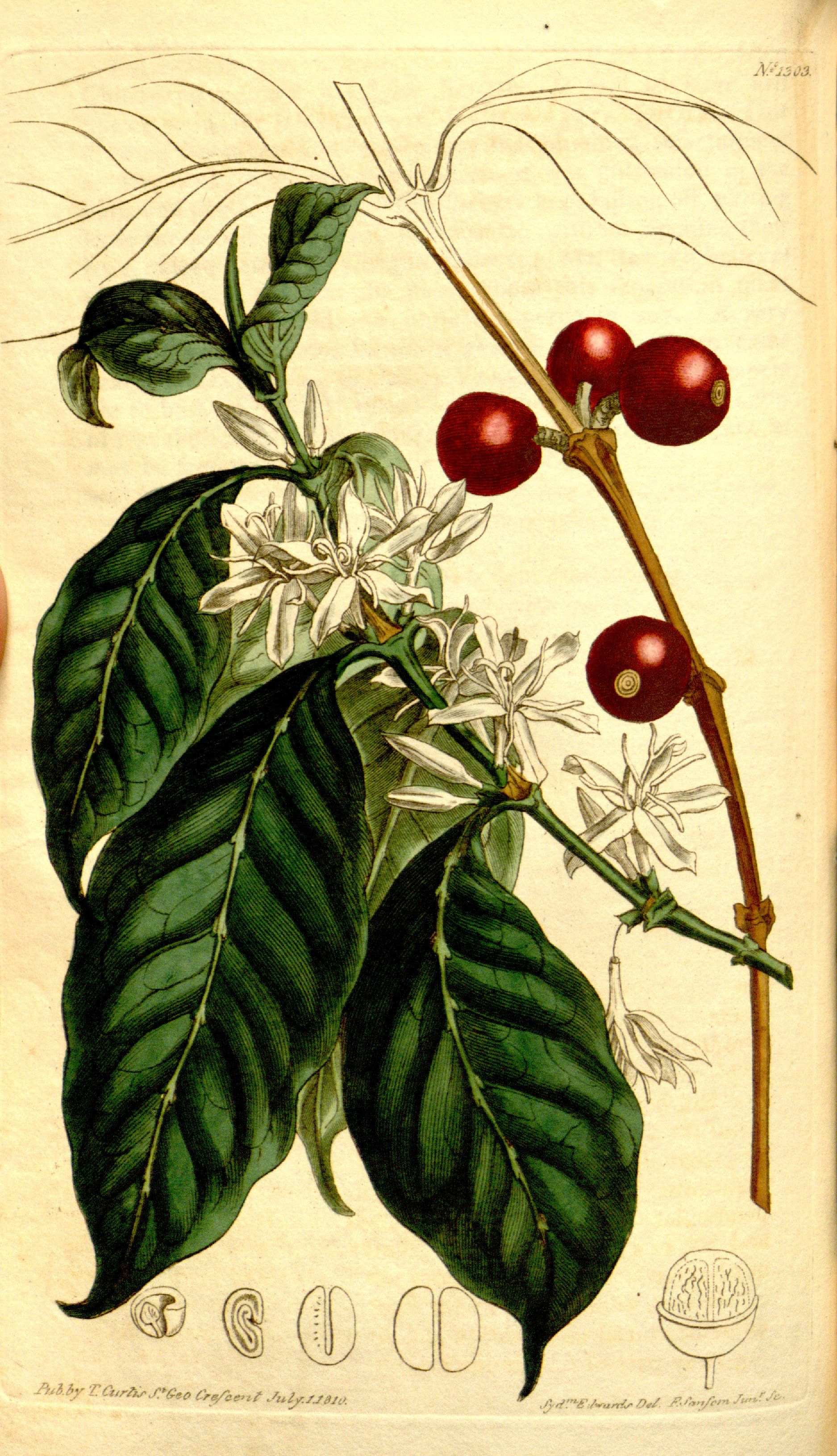 Coffee (Coffea Arabica L.) from Curtis's Botanical