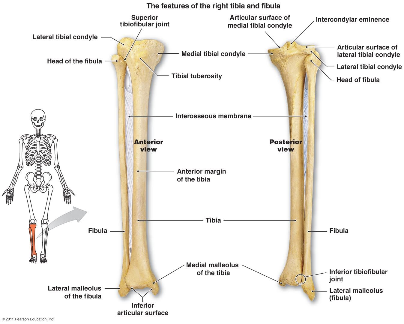 Right Tibia And Fibula