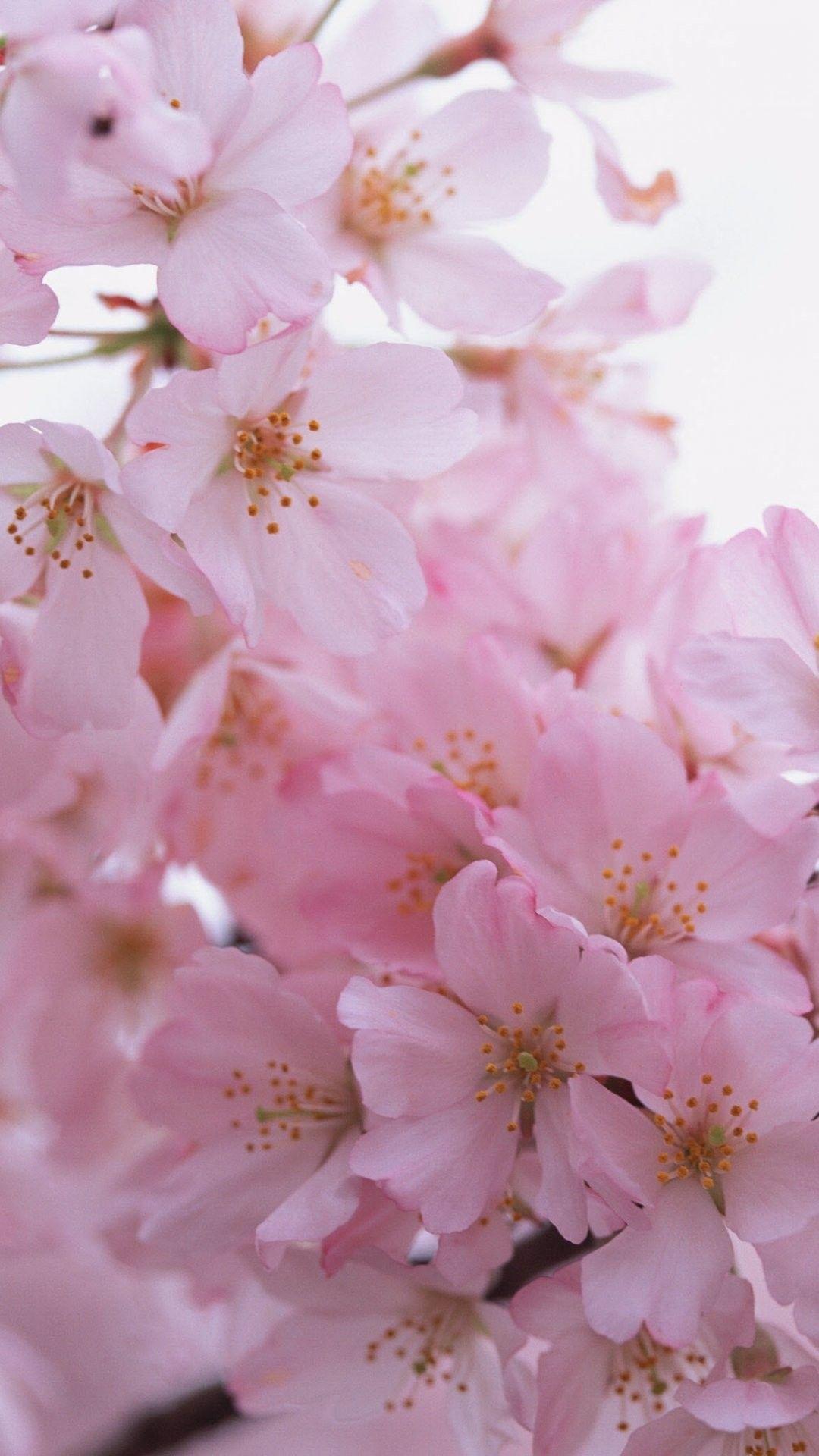 Sakura iPhone 6 Plus Wallpaper 20971 Flowers iPhone 6