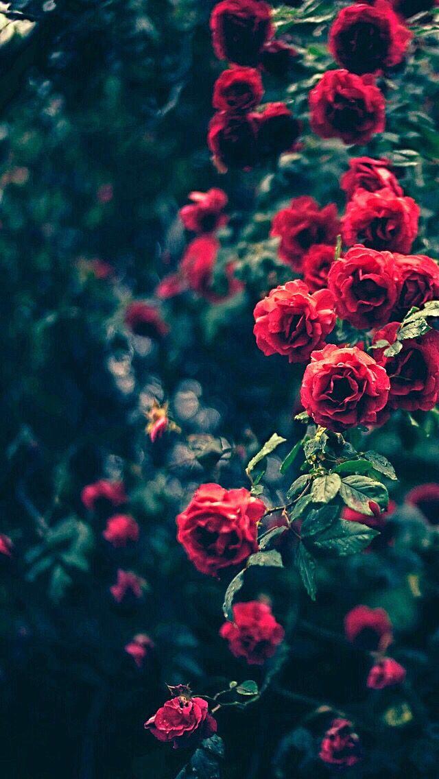 Red roses IMG Beautiful World Pinterest Wallpaper