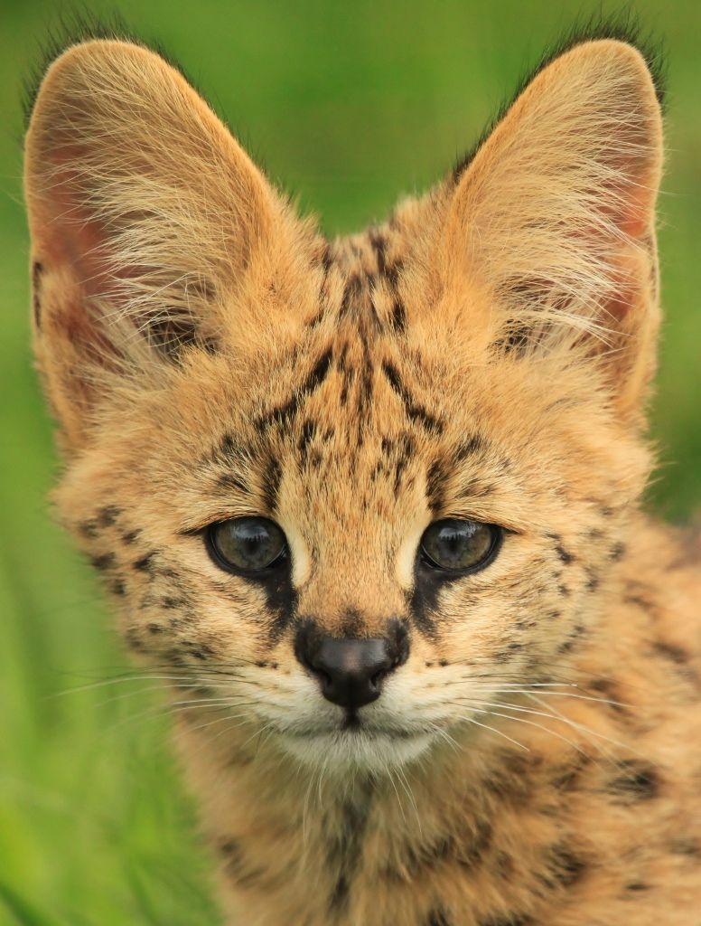 Serval Cub, via big ears