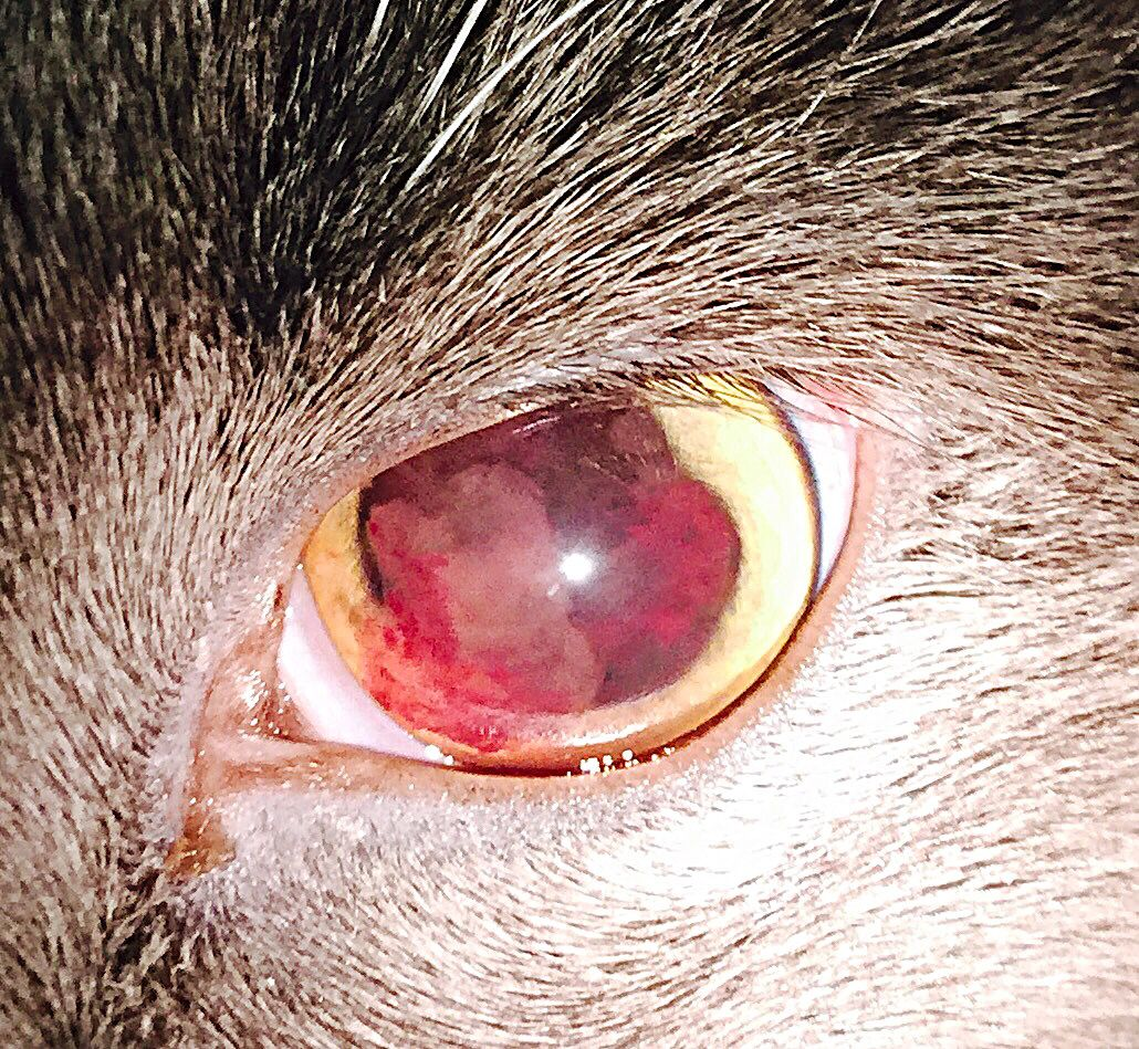 Here is the eye of a young adult cat, that was seen at
