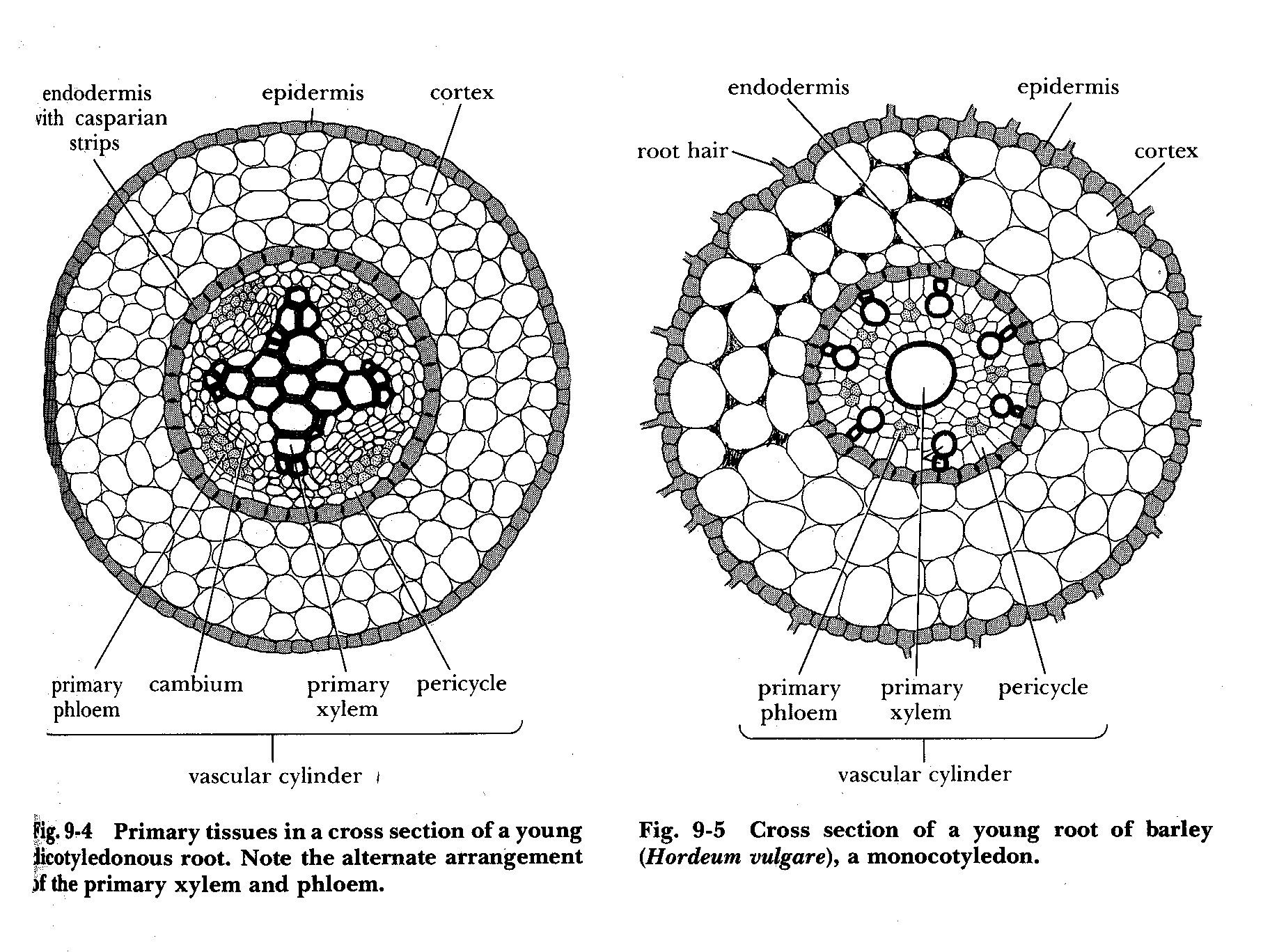 Xylem And Phloem In Leaf Quality Images