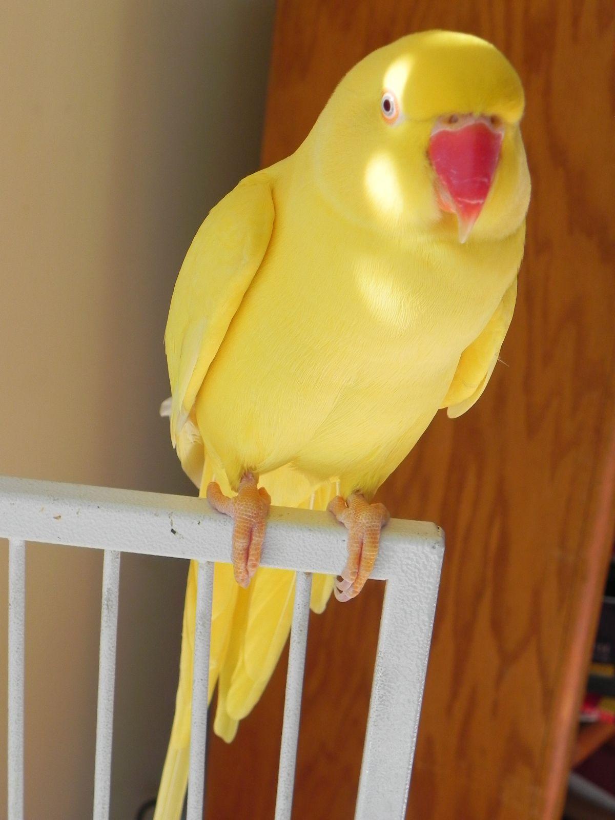 green indian ringneck parakeet | animal kingdom / wildlife