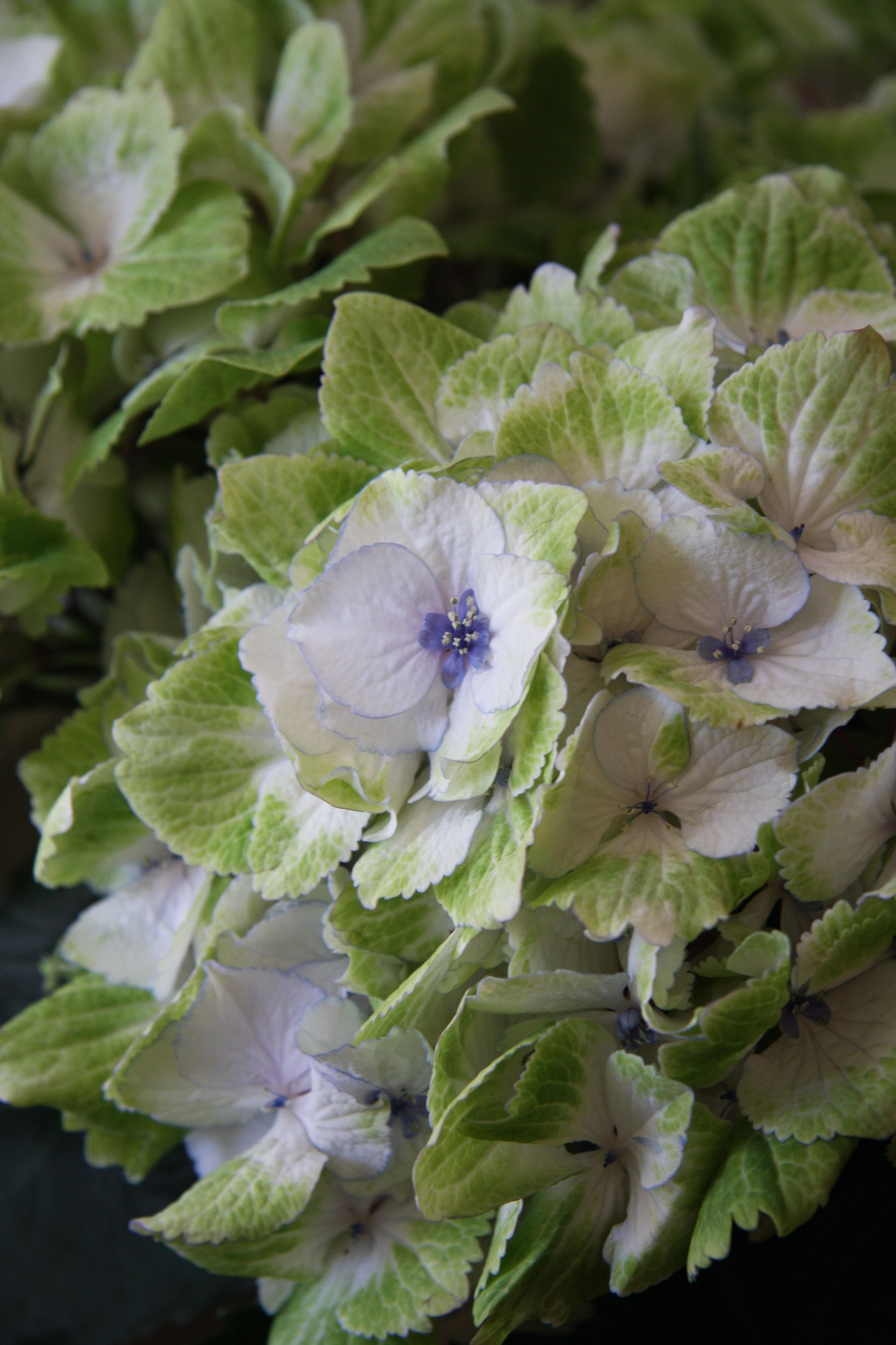 French Hydrangea 'Magical Noblesse' (Hydrangea macrophylla