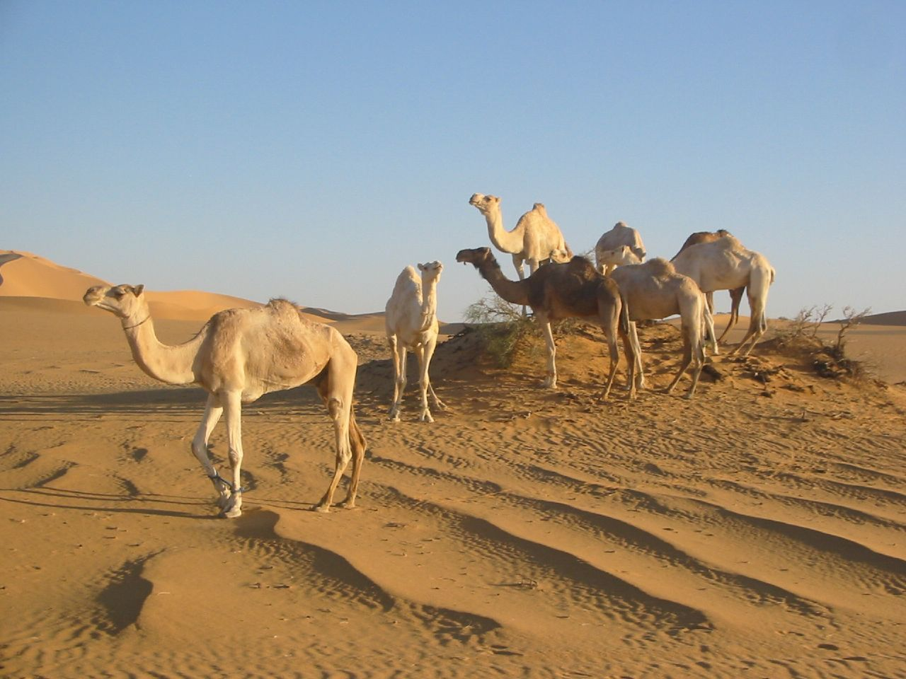 Sahara+Desert+Animals+and+Plants Libya one of the