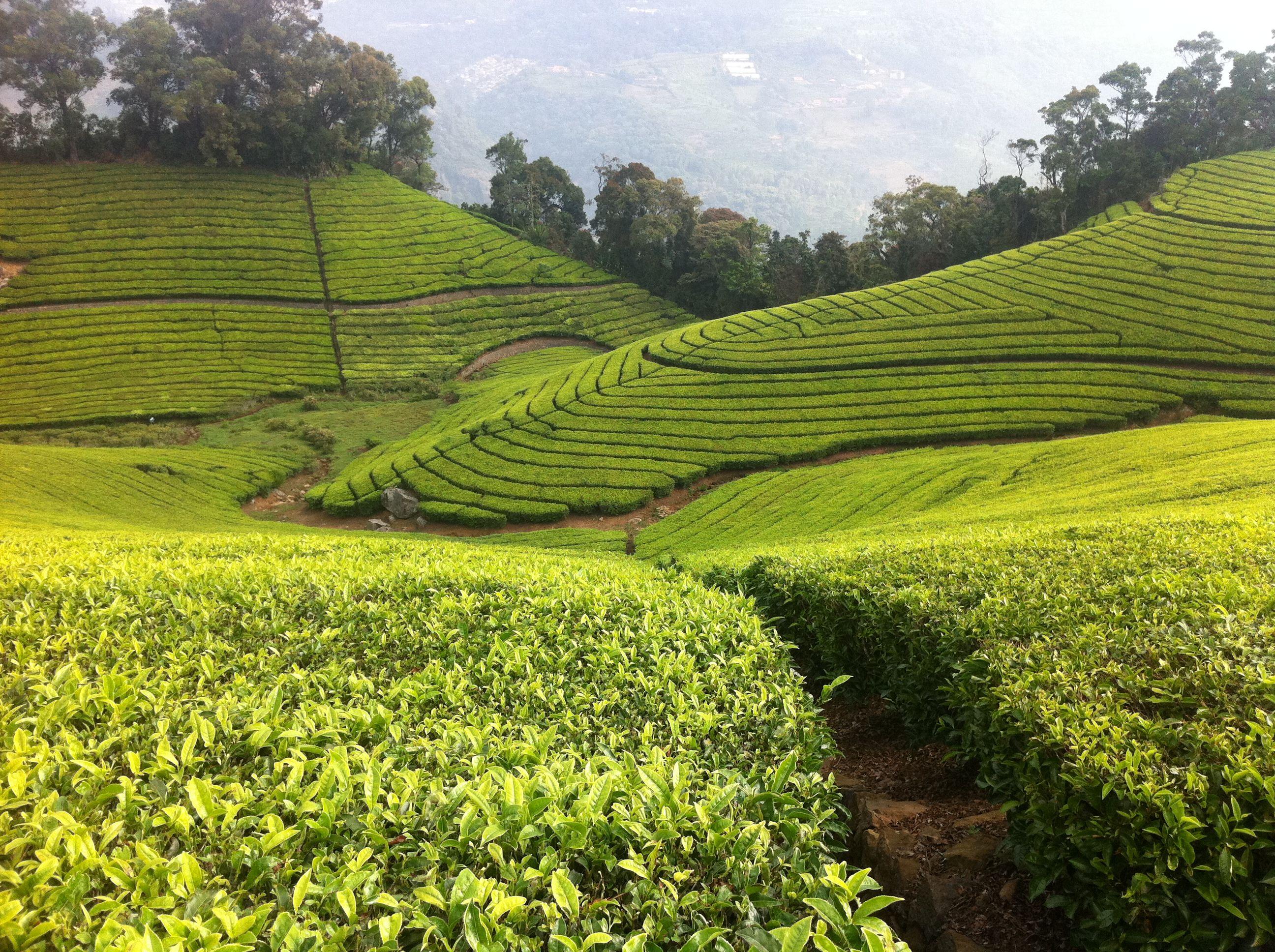 Tea Plantation. Nilgiri Hills, India. Nilgiri Hills
