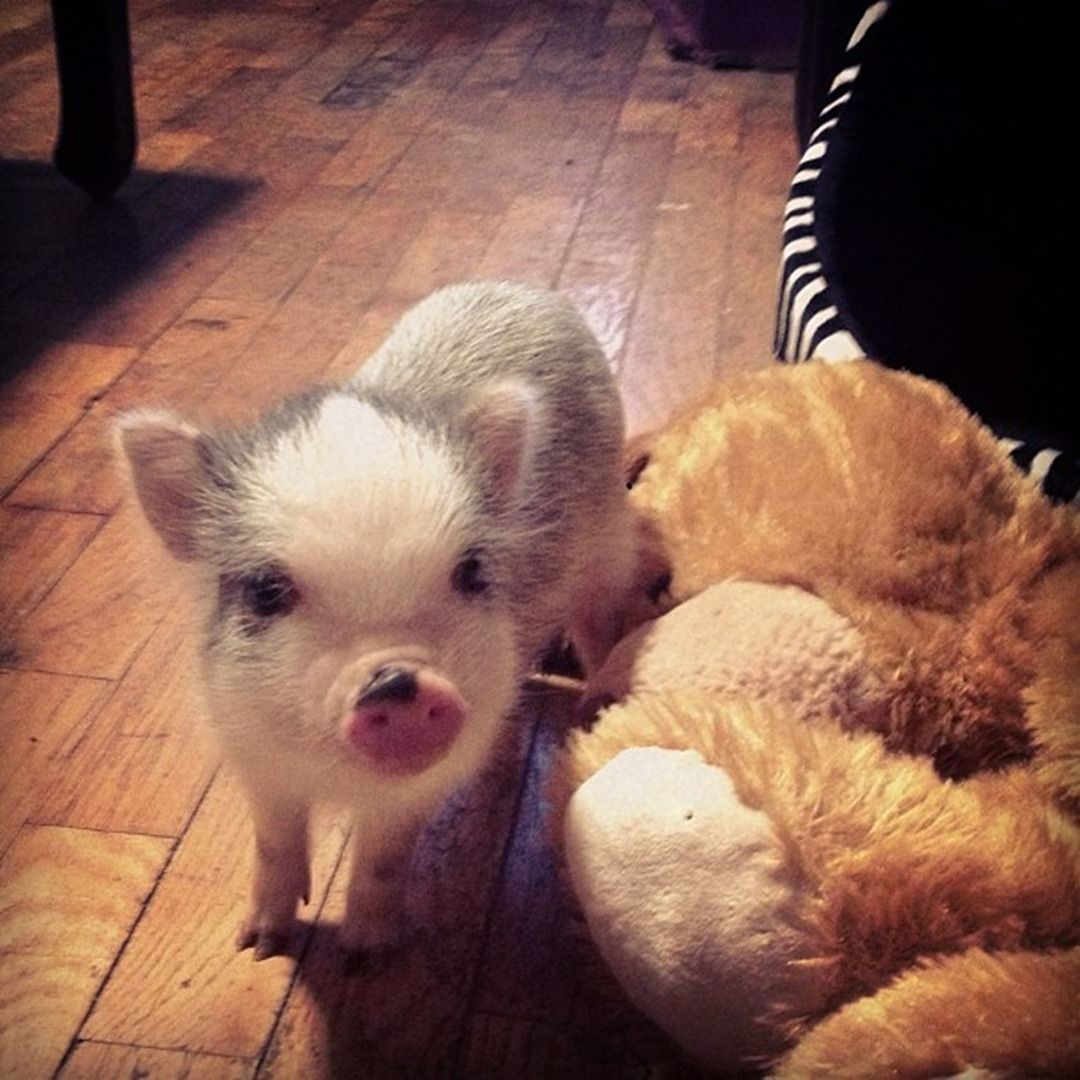 I Will Have One One Day Charming Mini Pigs Micro Mini Teacup