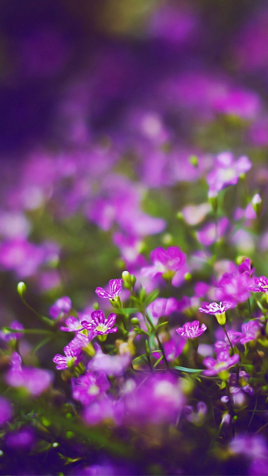 Beautiful Purple Flower Field Blur Bokeh iPhone 6