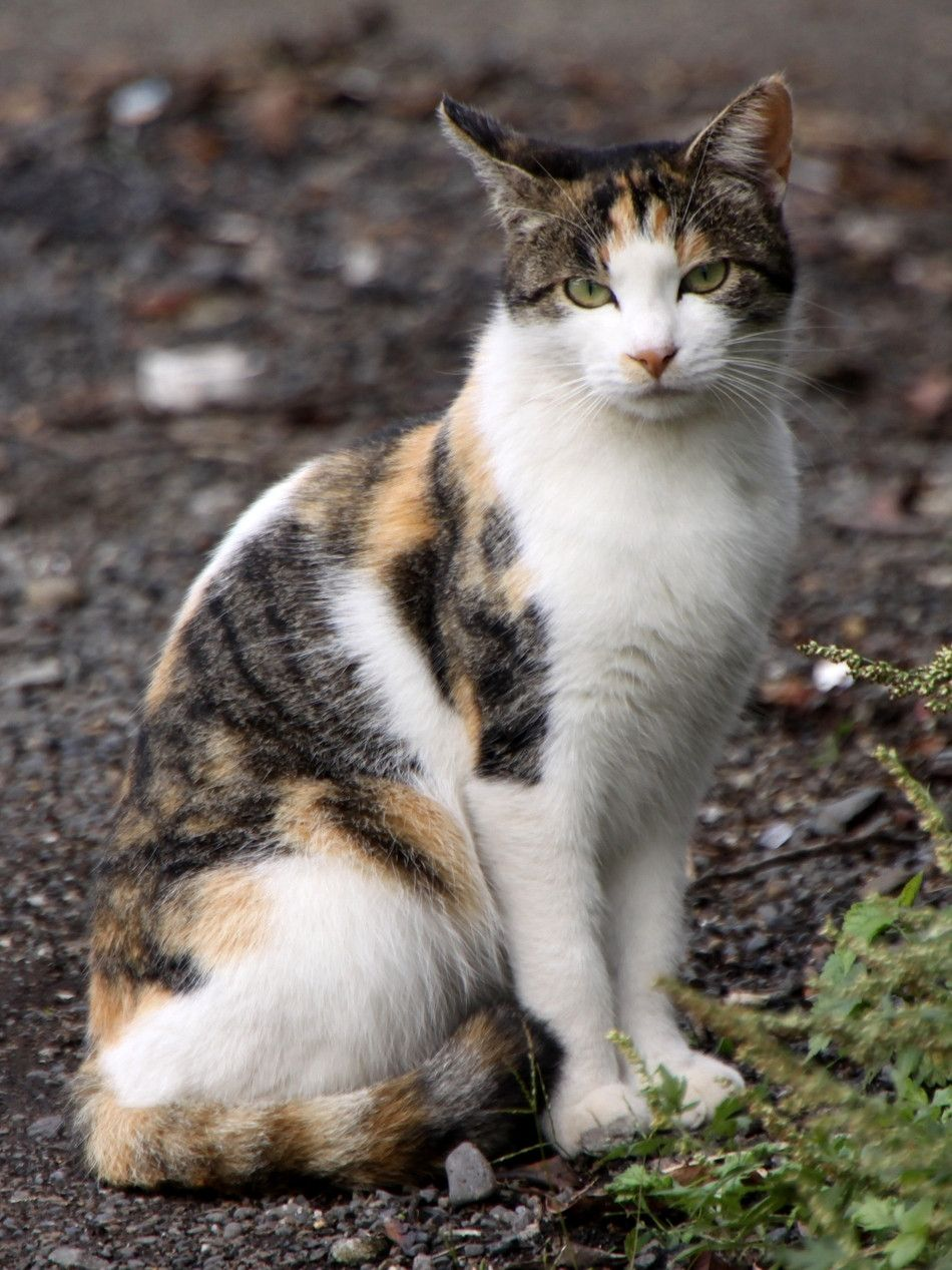 This is a calico cat. Her three coat colors are white