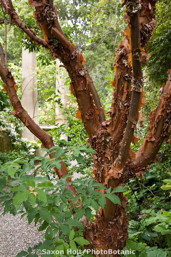 Exfoliating bark of copper trunk Chinese Paperbark Maple