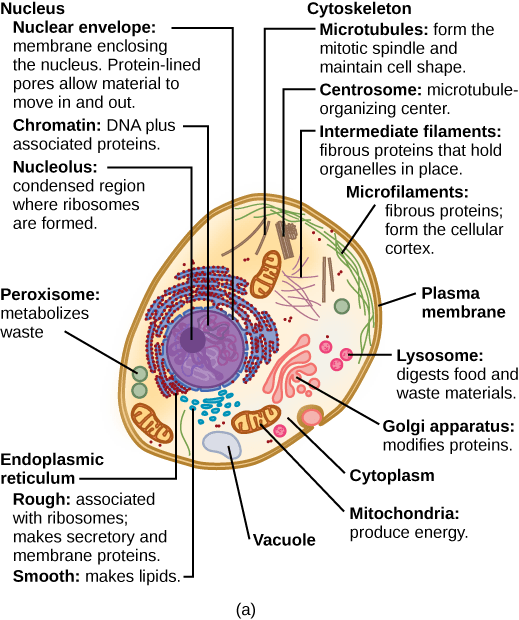 plant cell parts functions Typical Plant Cell Parts And