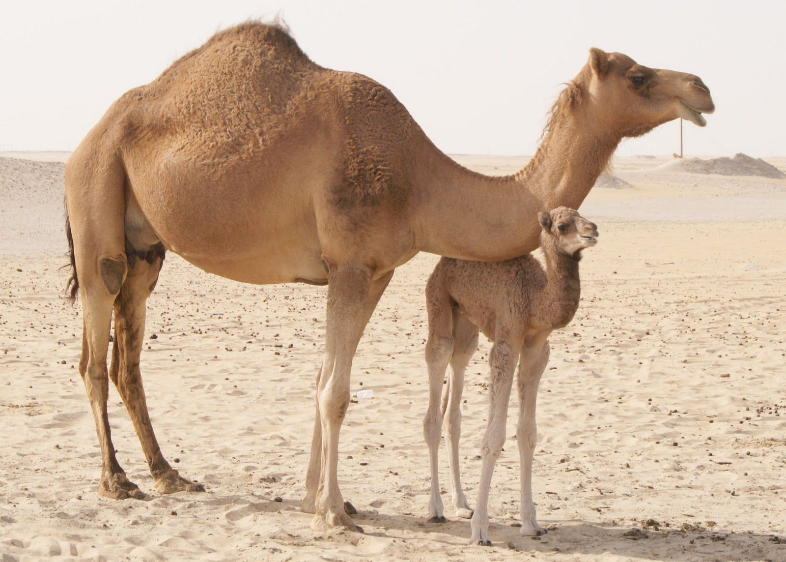 Camels Camels HD Wallpapers (High Definition)HDwalle