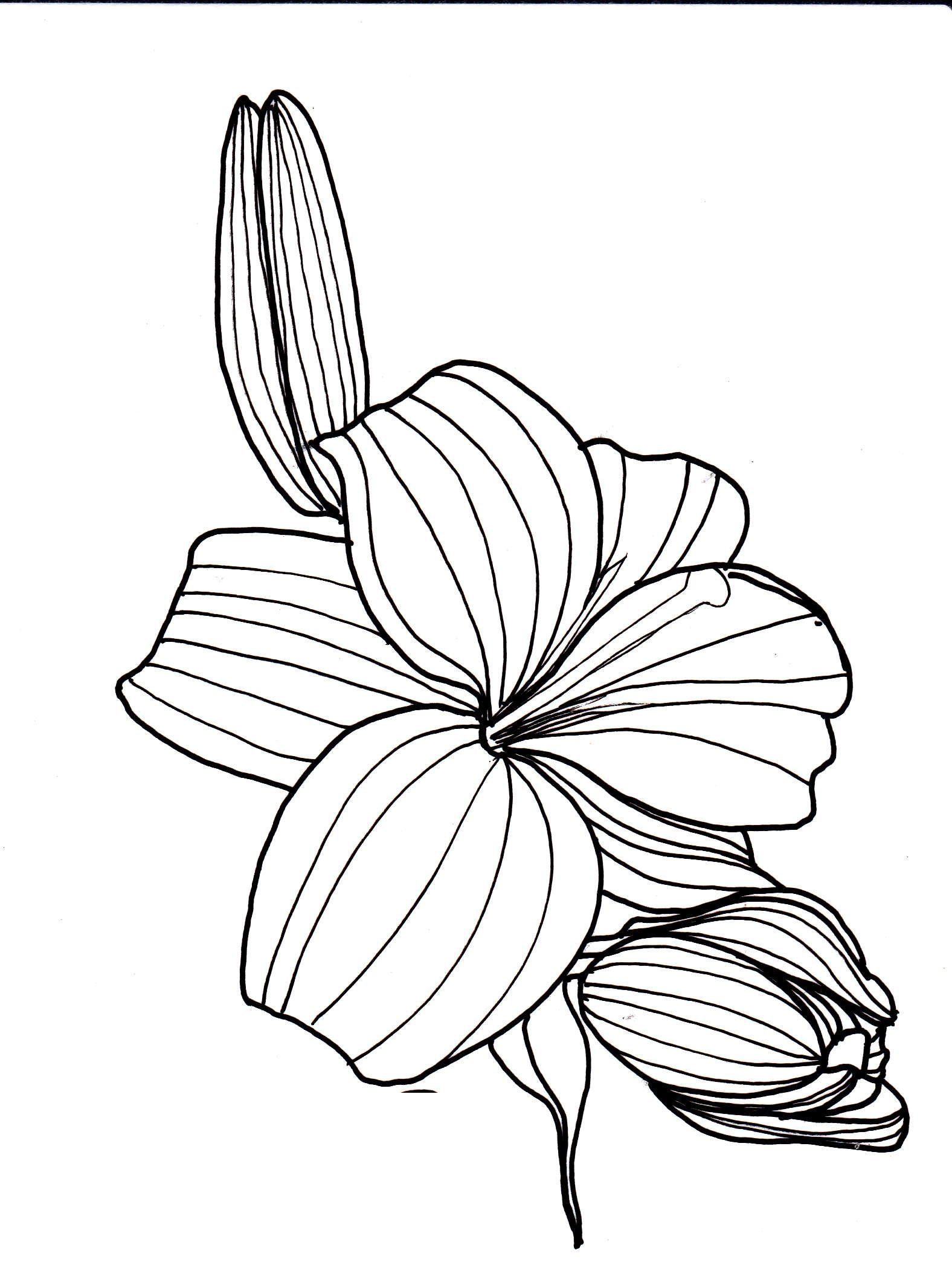 line drawing flowers lily Drawings Pinterest
