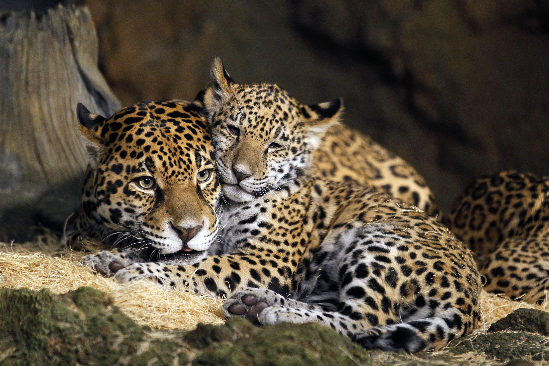 Names picked for zoo's baby jaguars Baby jaguar, Jaguar