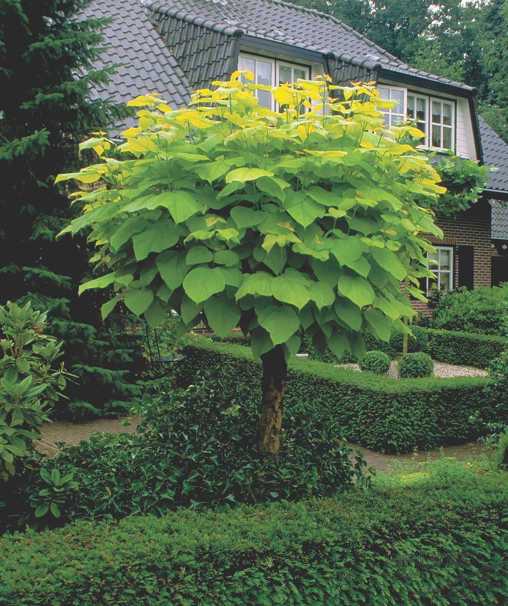 indian bean tree Google Search Hepburn Pinterest