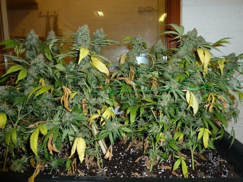 These buds are ready for harvest! When to Harvest Weed