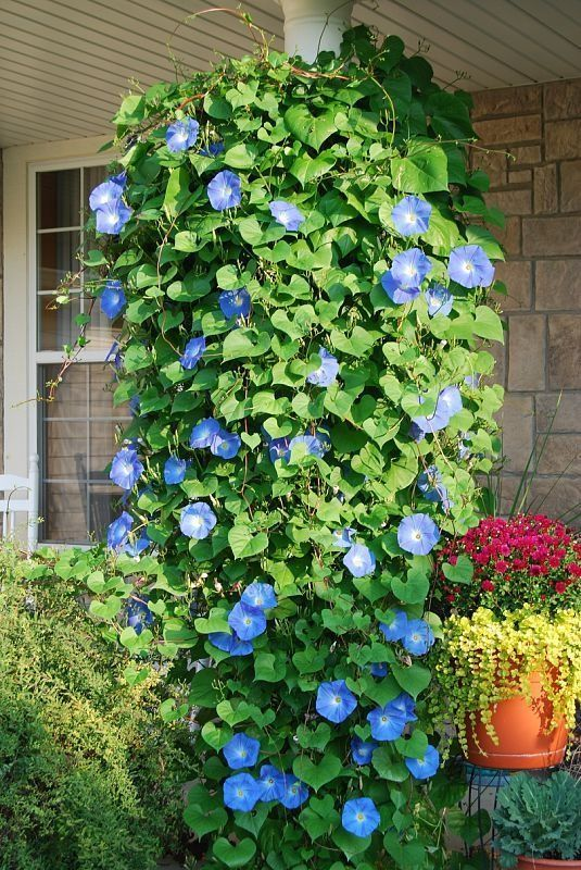 Plant Morning Glory seeds in a hanging basket and they