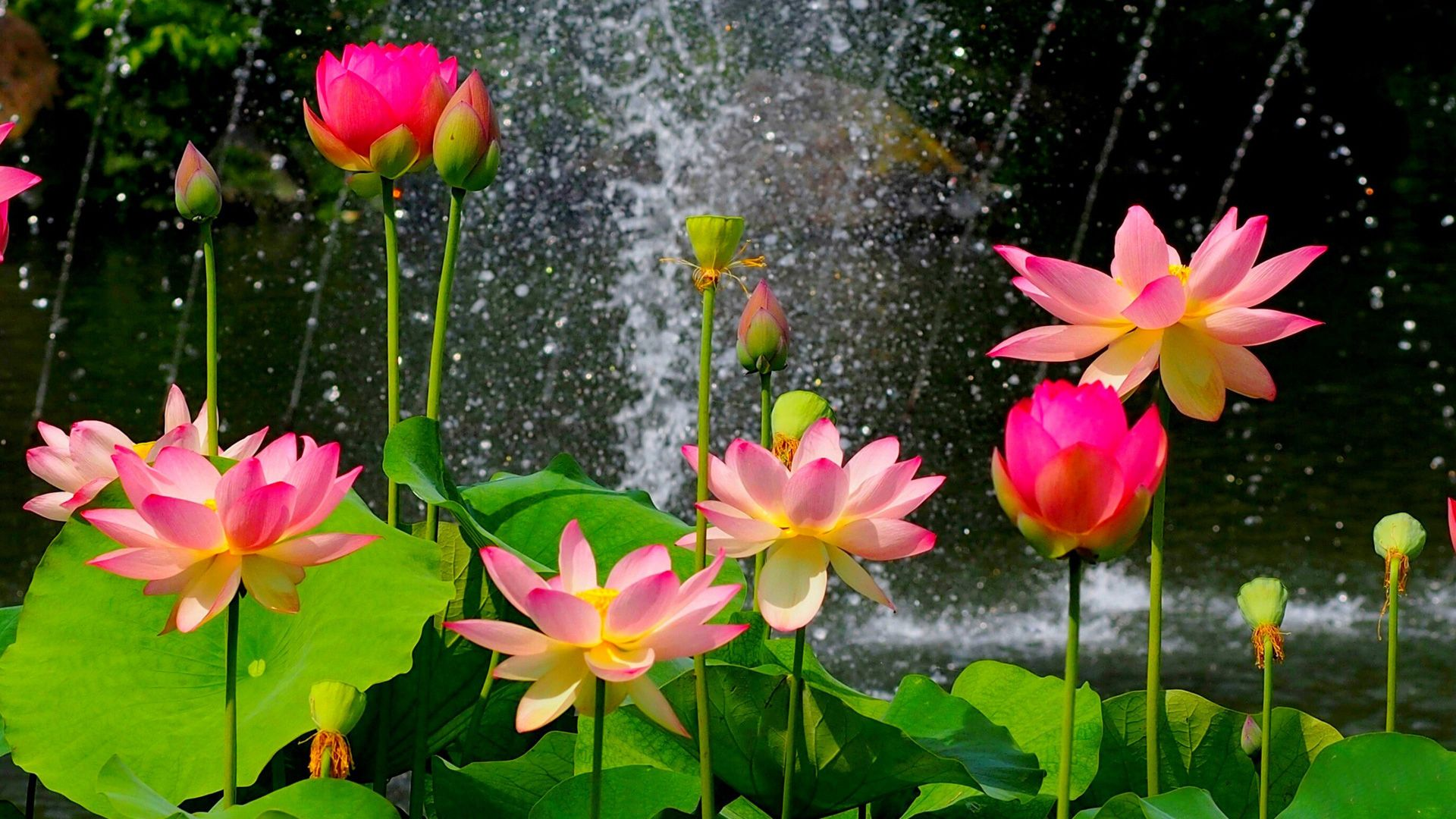 Lotus Images Wallpaper HD Quality Wallpapers Full Size