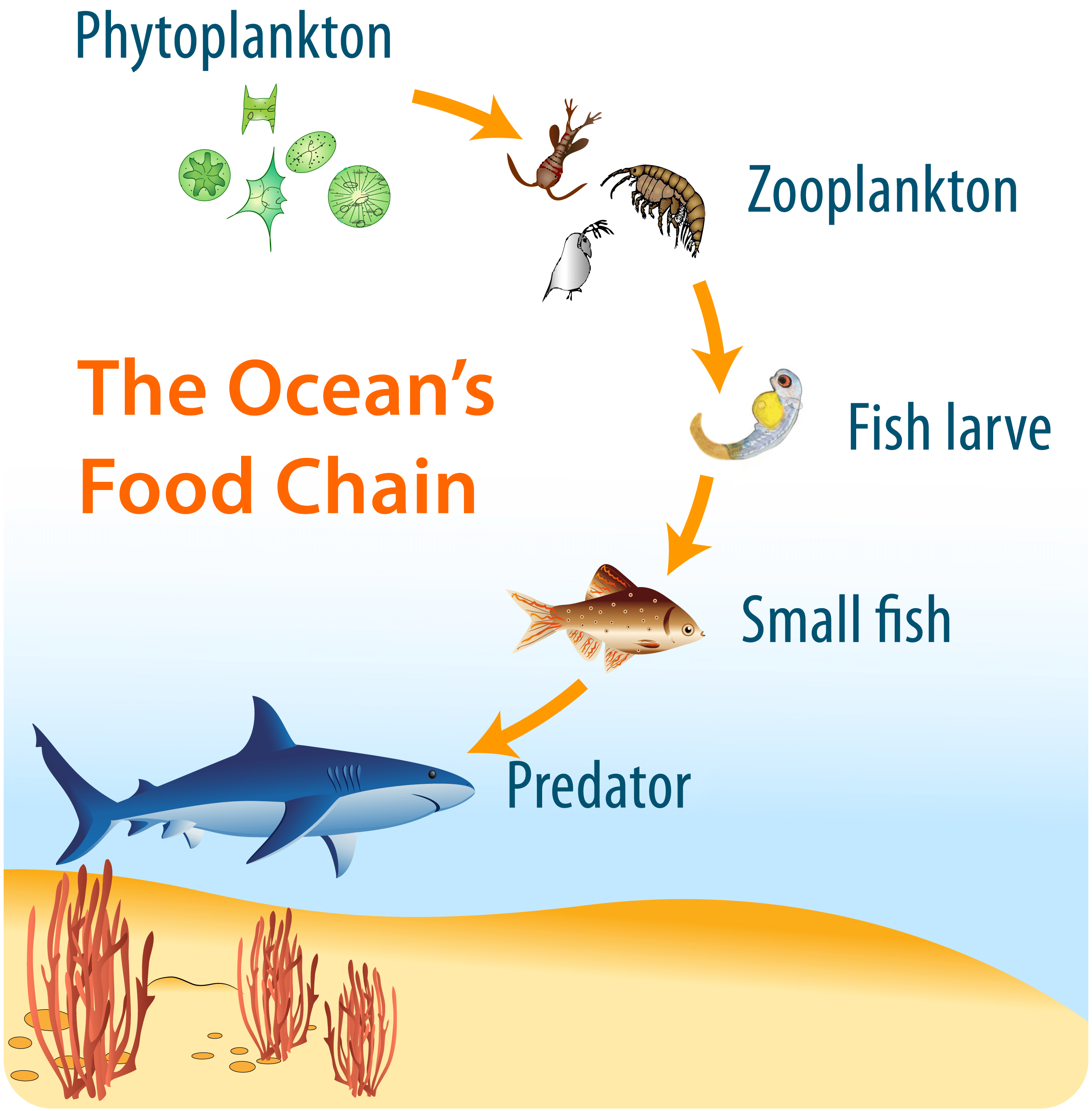 Phytoplankton In The Oceanic Food Chain