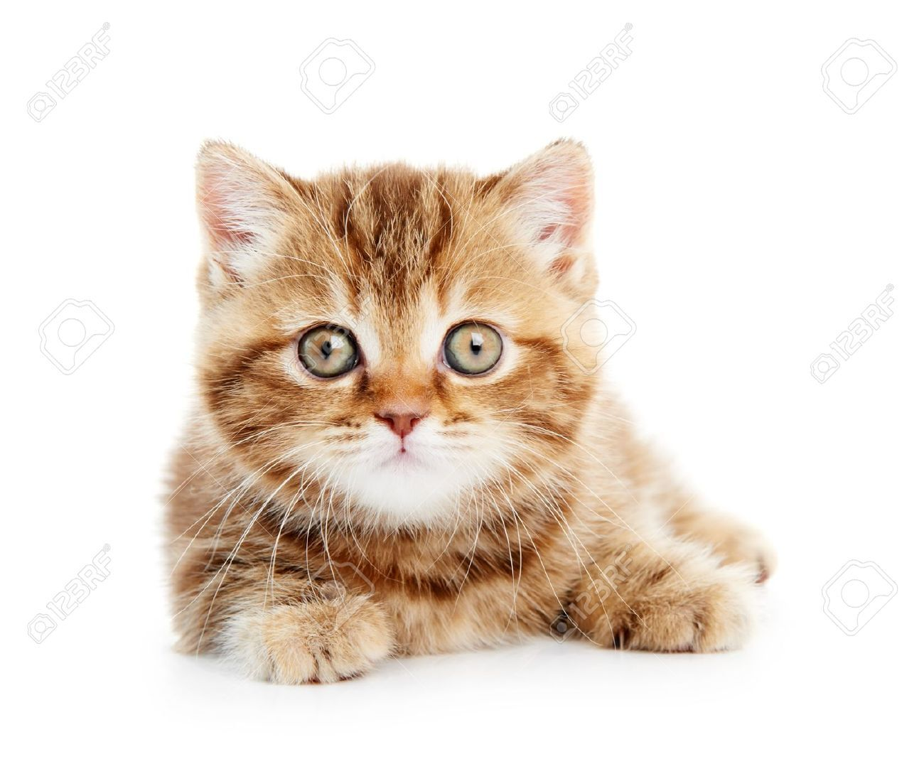 british shorthair kittens golden tabby Google Search
