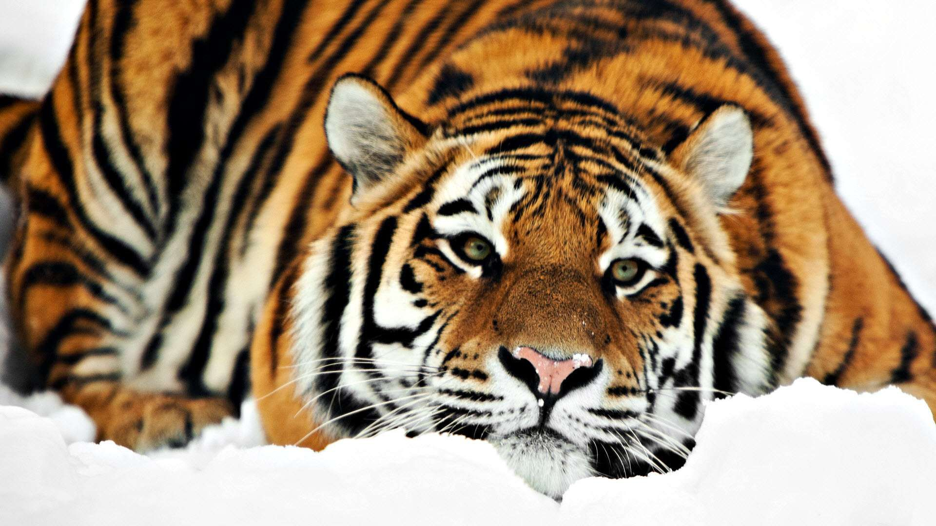 Click here to download in HD Format >> Tiger Hd 1080p