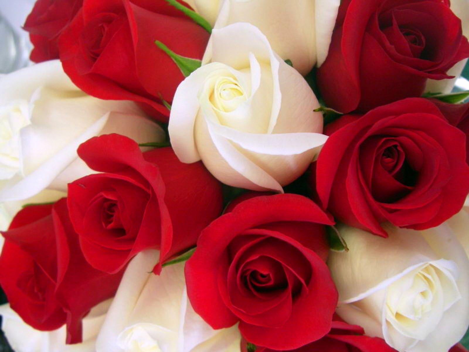Lovely Rose Wallpaper Flowers Nature Wallpapers in jpg