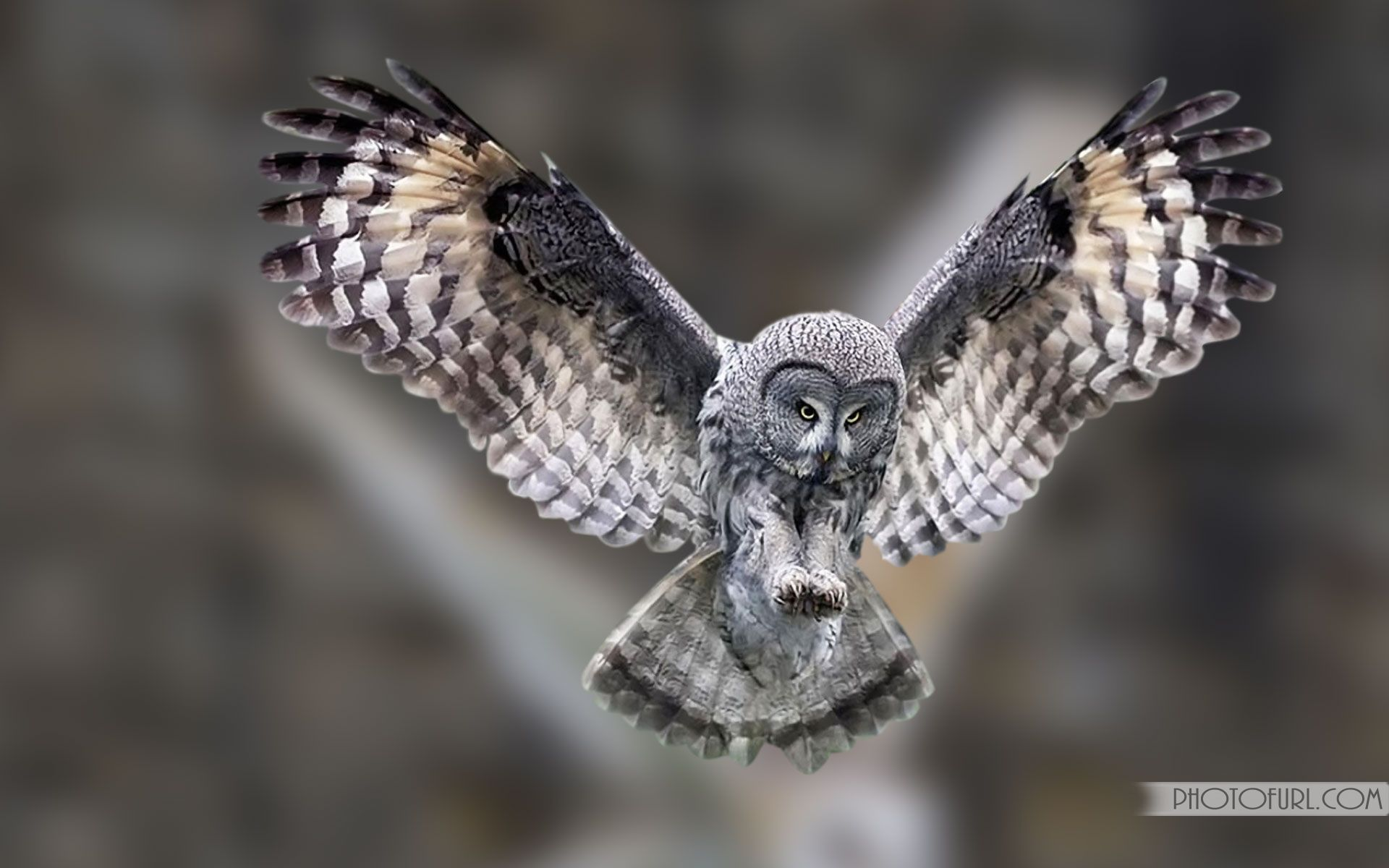 Great gray owl wallpaper New Perspective Great Grey Owl