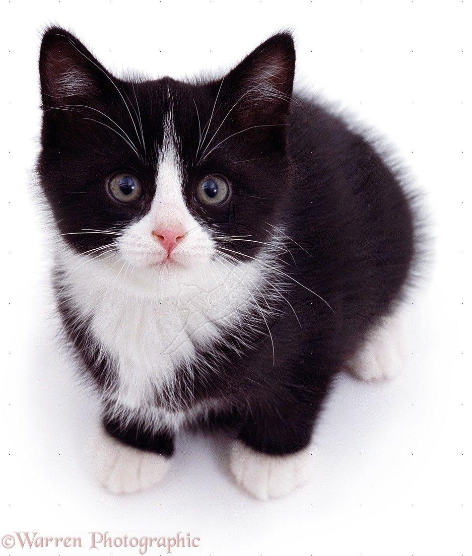Black and White Cats 02219Blackandwhitekitten