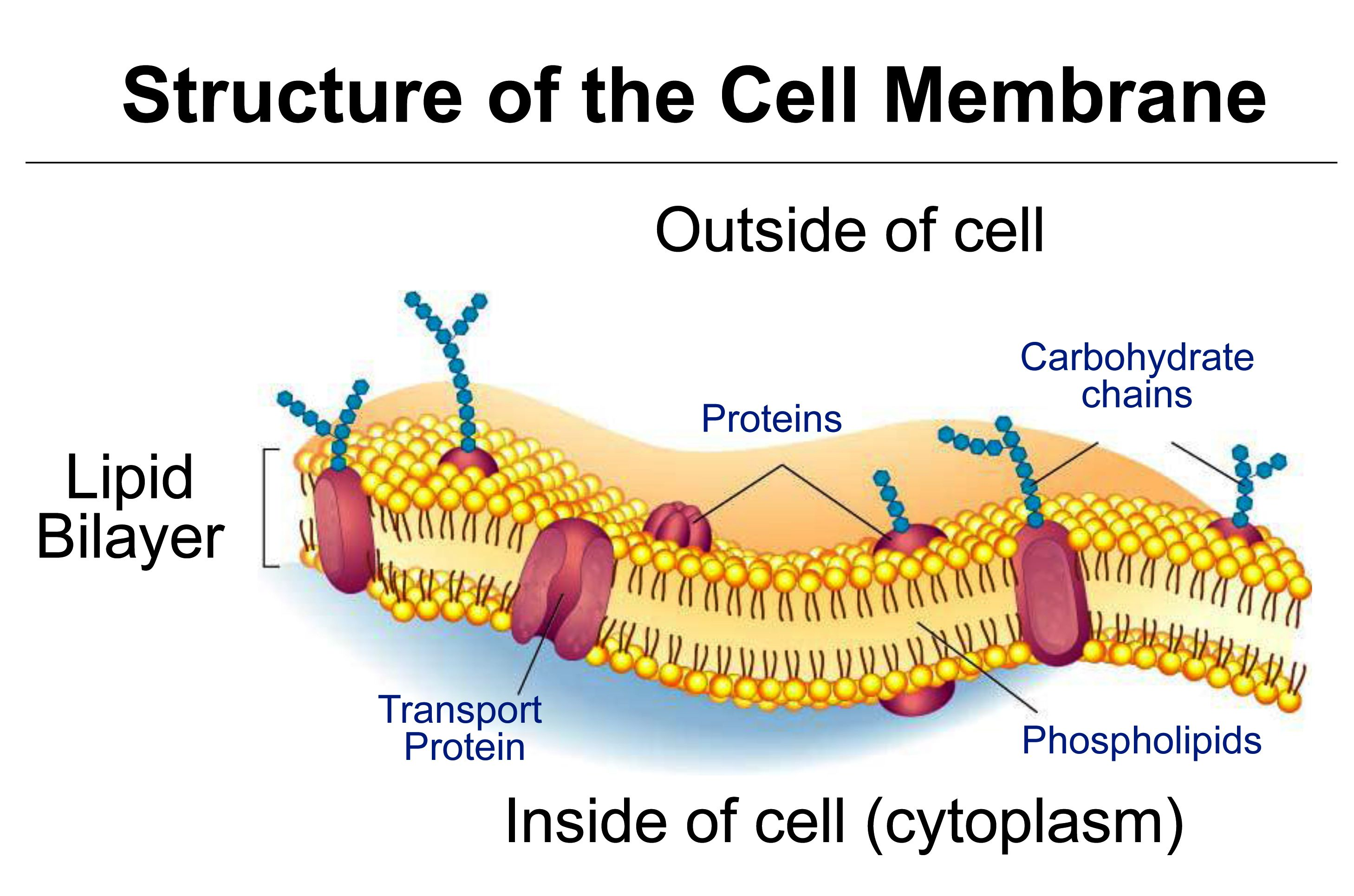 TJ. Schematic diagram of typical membrane proteins in a
