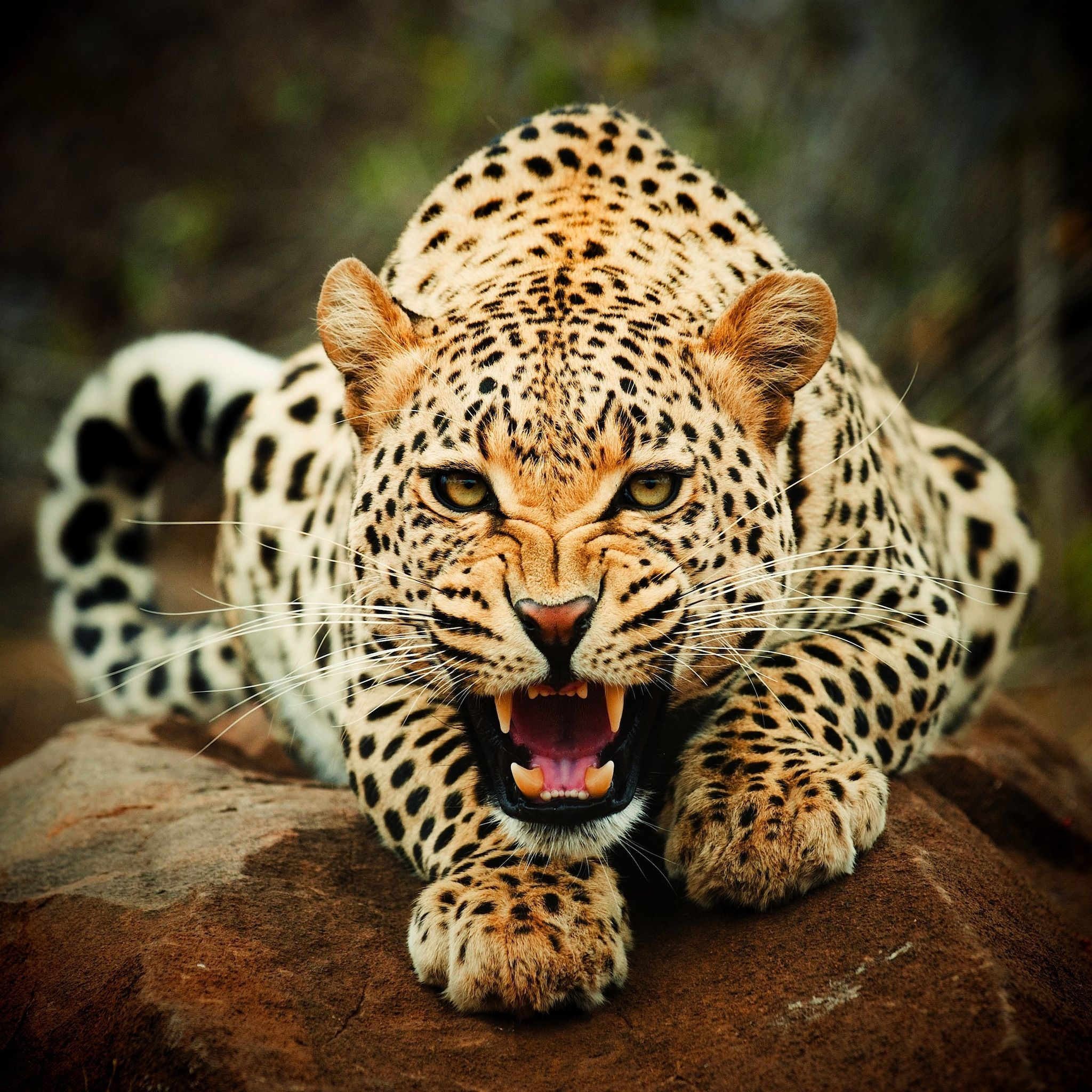 Leopard ferocious! Soo pretty.. love all types of .. CATS