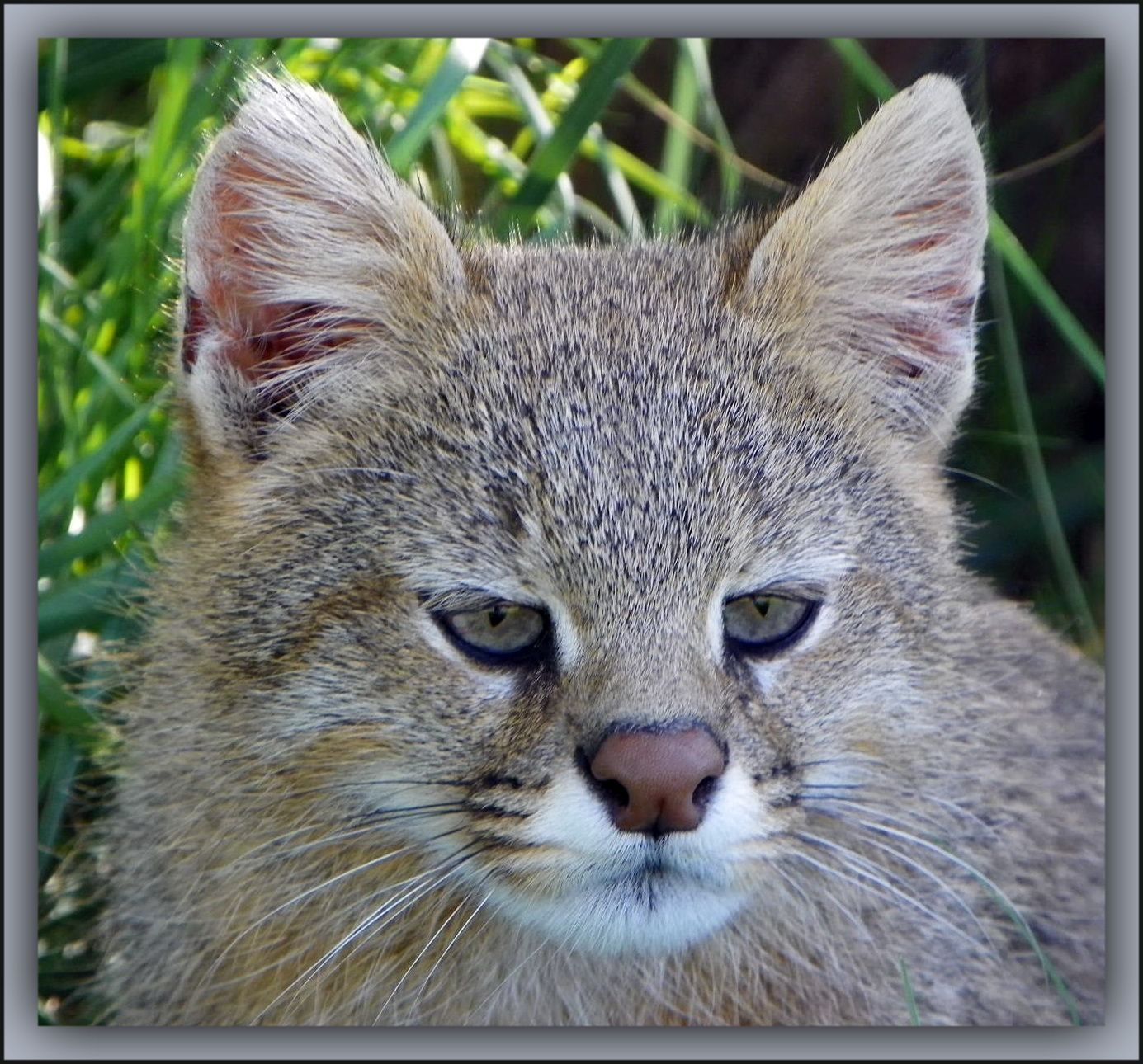 Pampas Cat (Leopardus pajeros) a small cat native to
