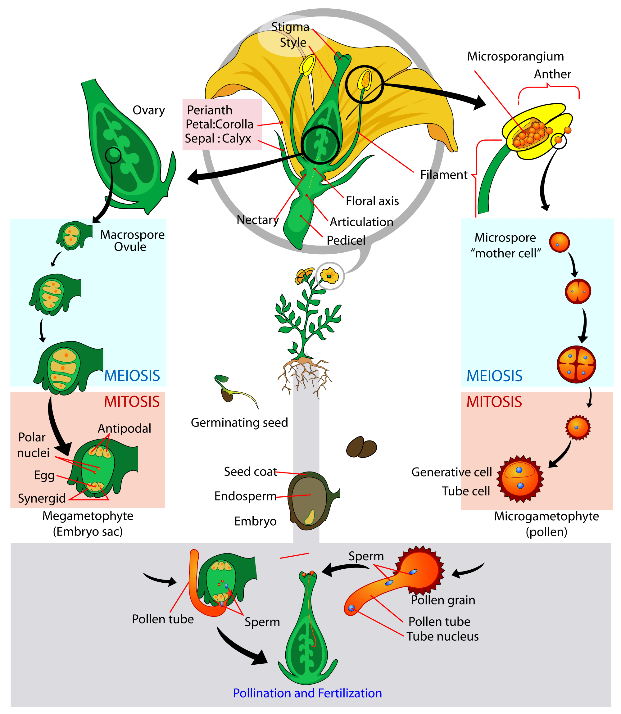 Life Cycle Flower