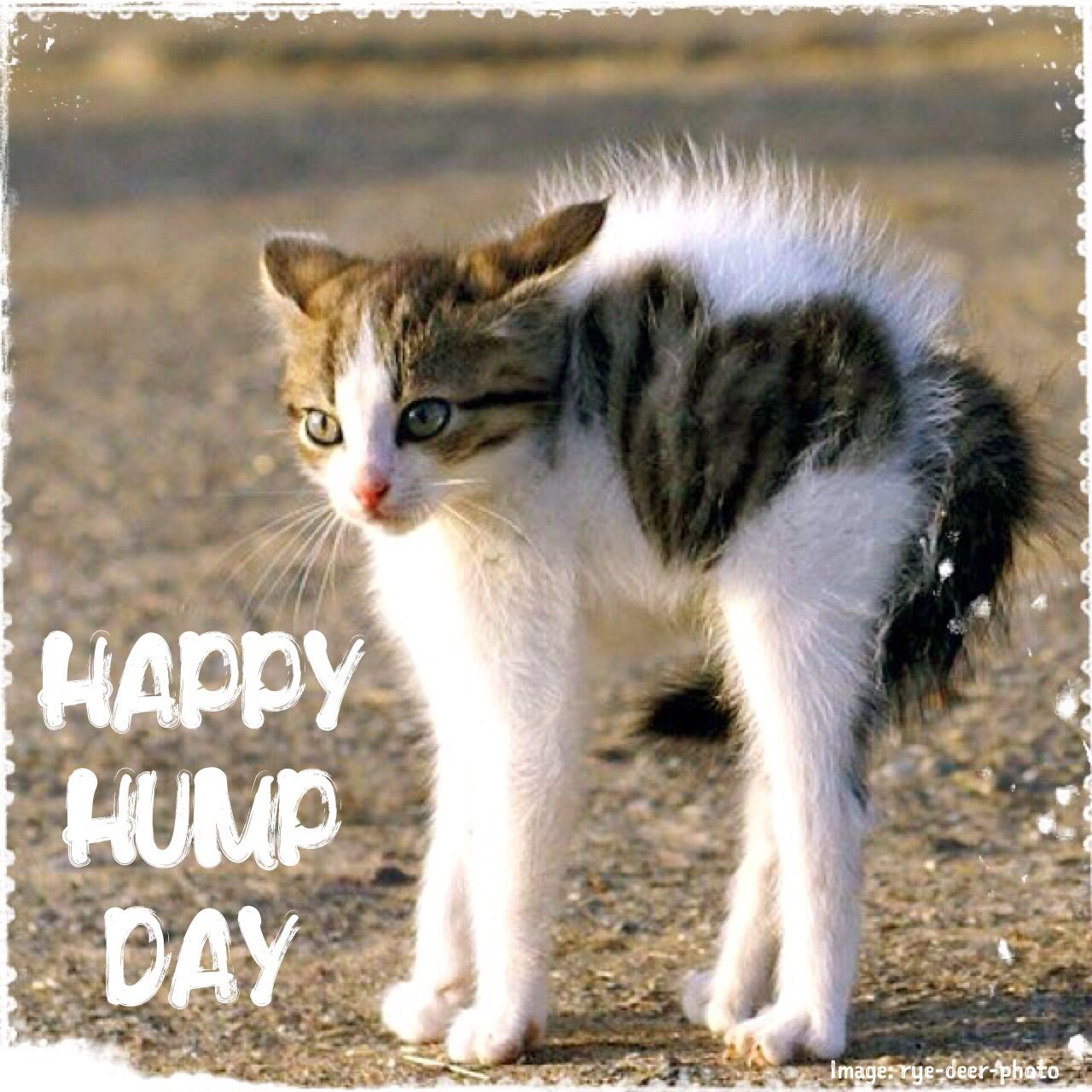 Wednesday humor Happy Hump Day Animal funny Cute cat