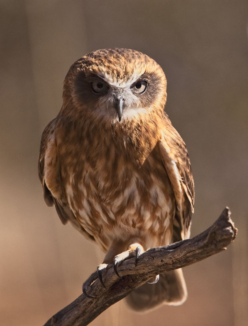 Southern Boobook Owl (Ninox novaeseelandiae), a nocturnal