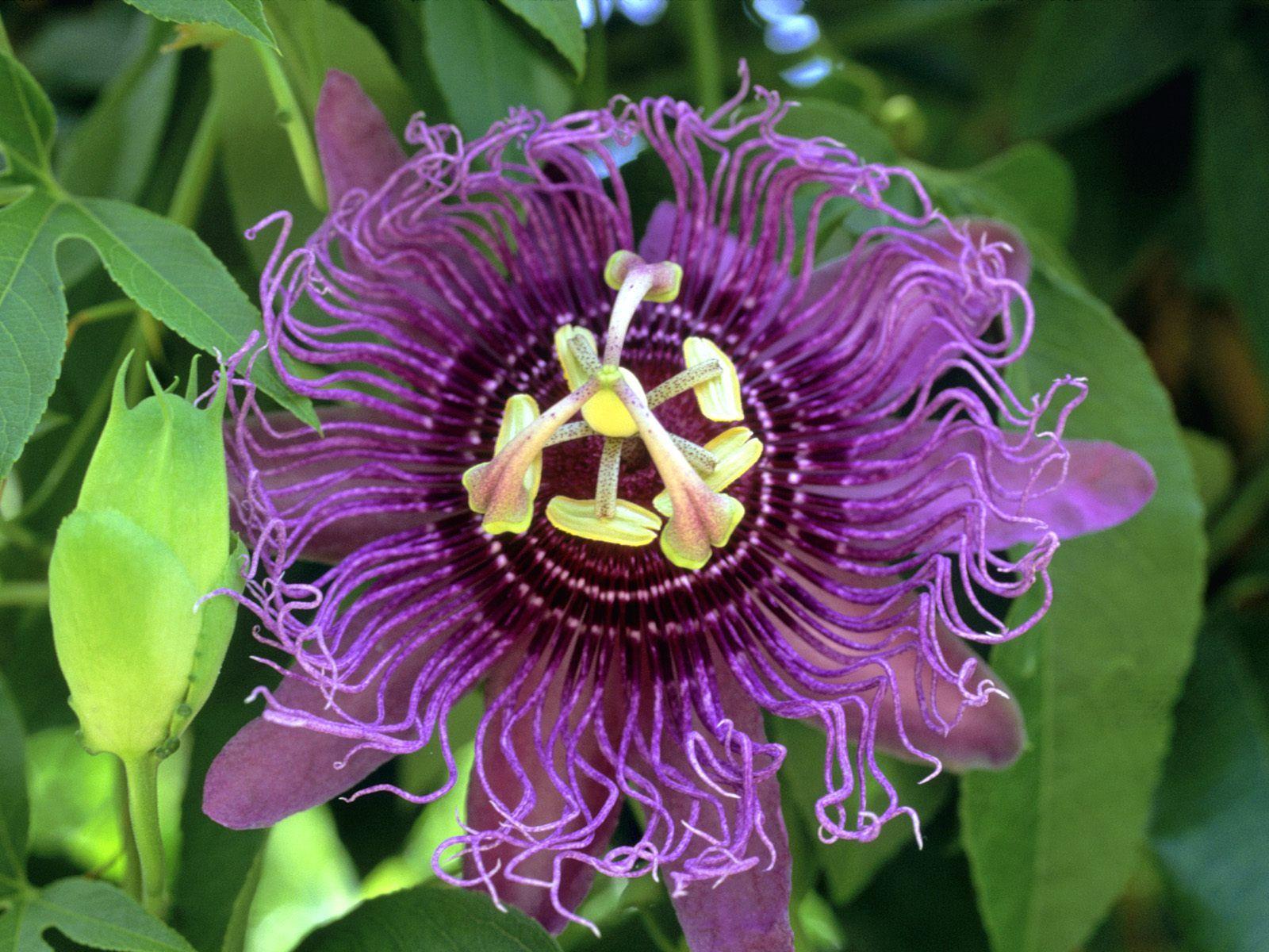 purple passion plant Purple Passion Fruit FlowerI
