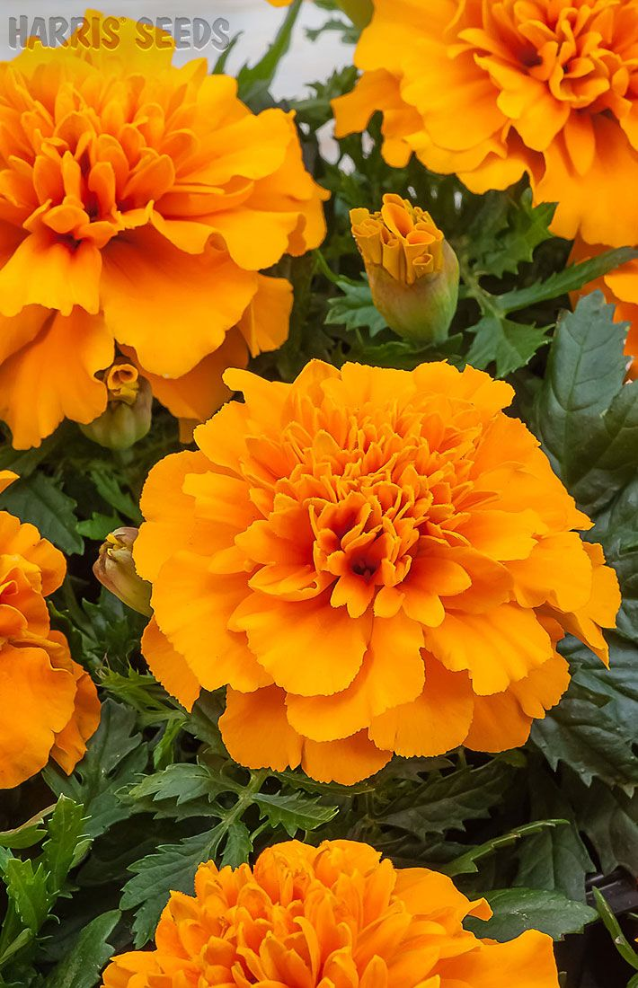 Marigold Chica Orange Orange flowers, Seeds and Plants