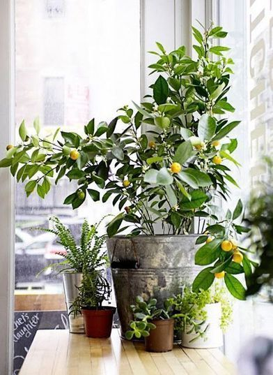 7 Types Of Fruit Trees You Can Grow In Your Living Room House Plants And Living Rooms