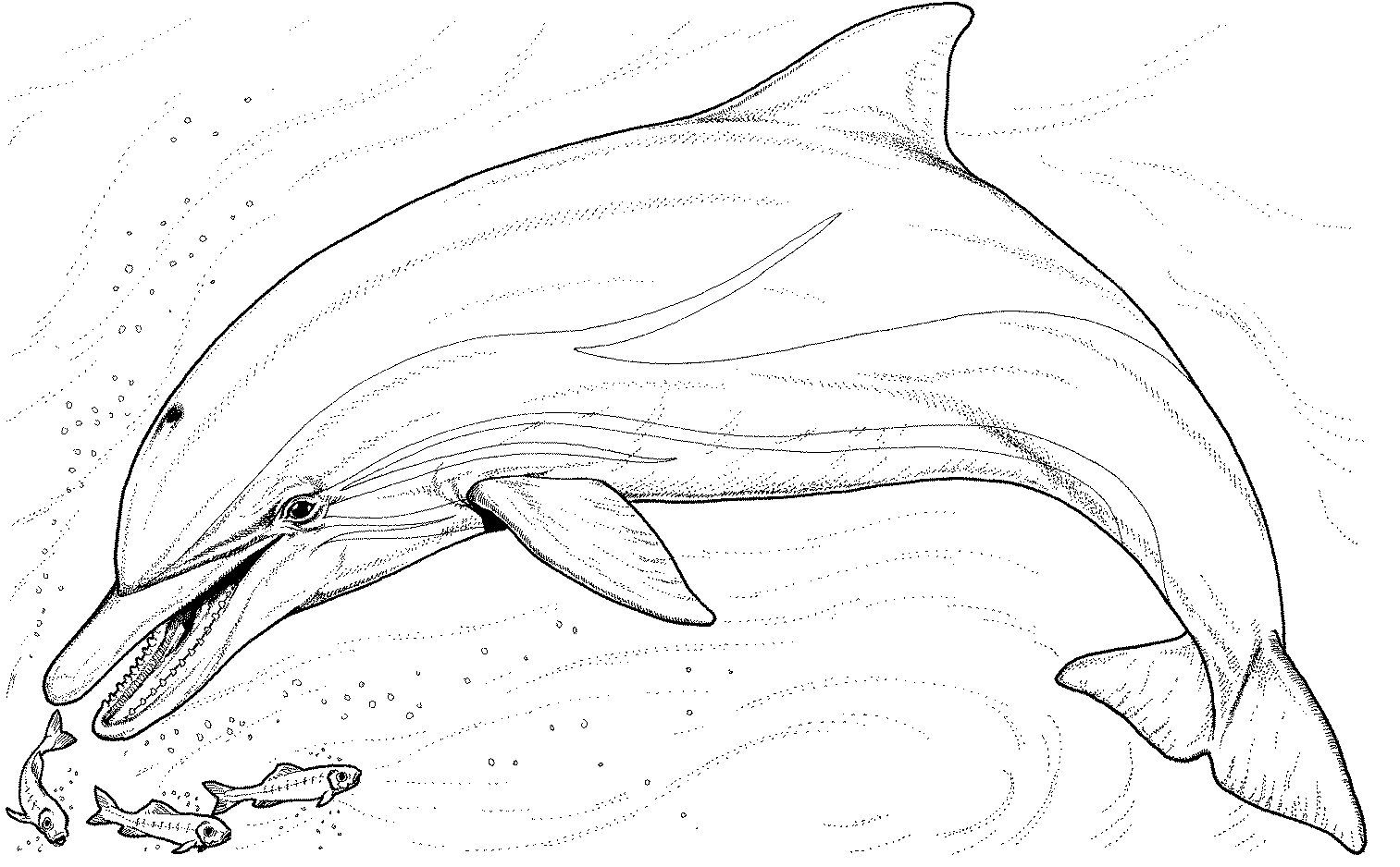 bottlenose dolphin dolphin to print out coloring page animal