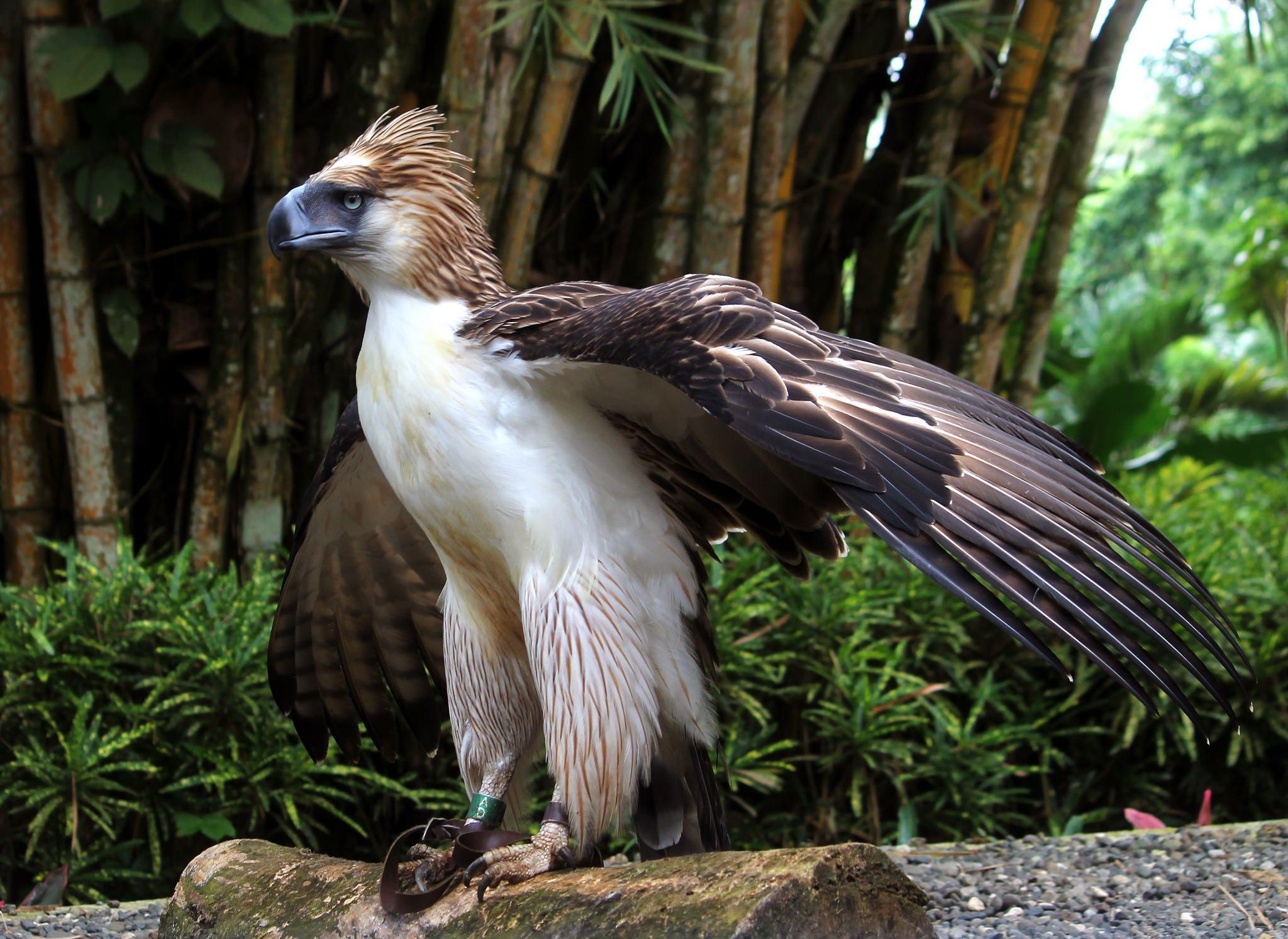 Mindanao the Philippine Eagle Philippine eagle, Mindanao