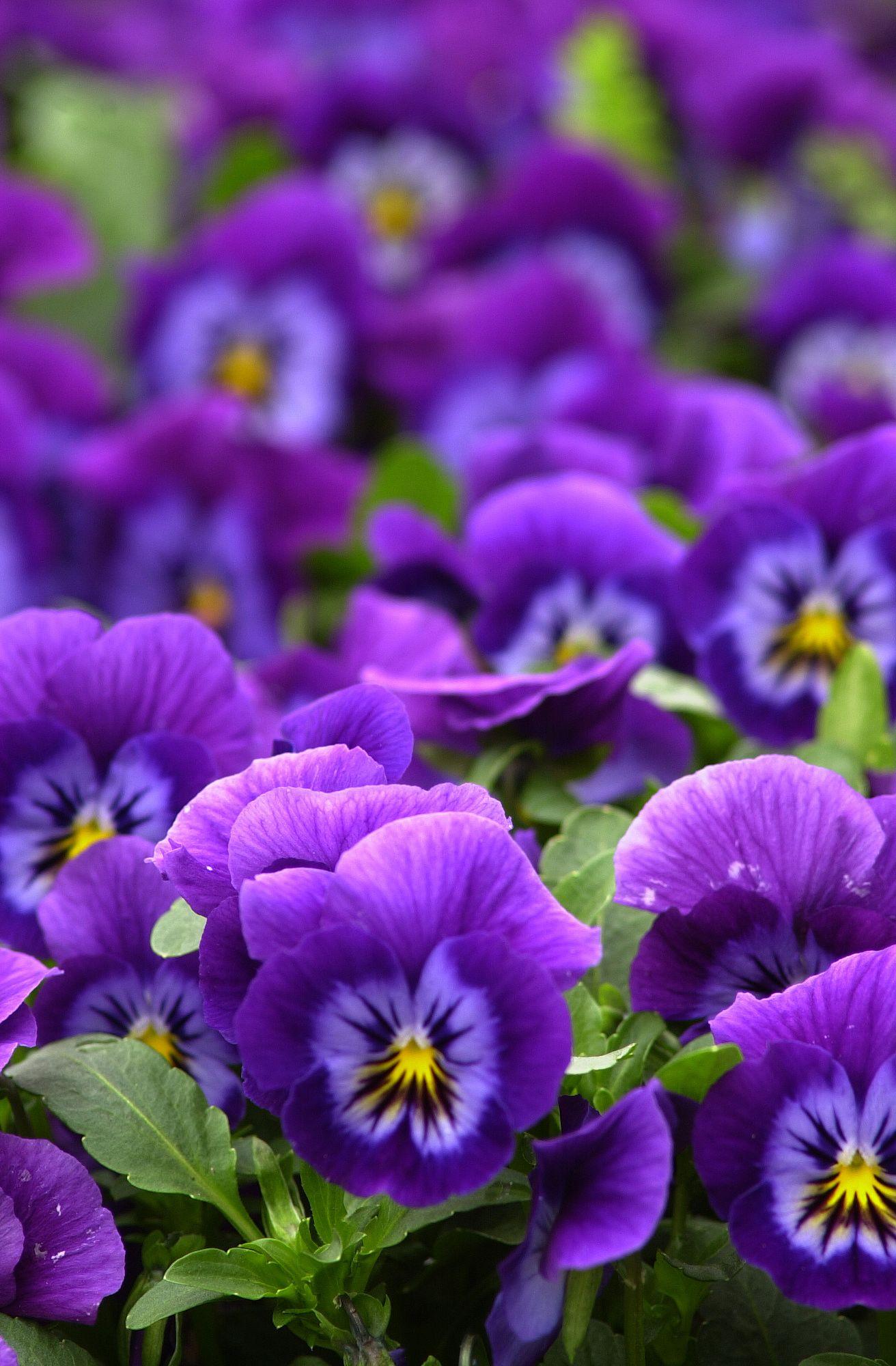 Viola x wittrockiana 'ultima' (Ultima Series Pansies