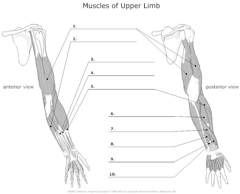 muscle and arm muscles on pinterest
