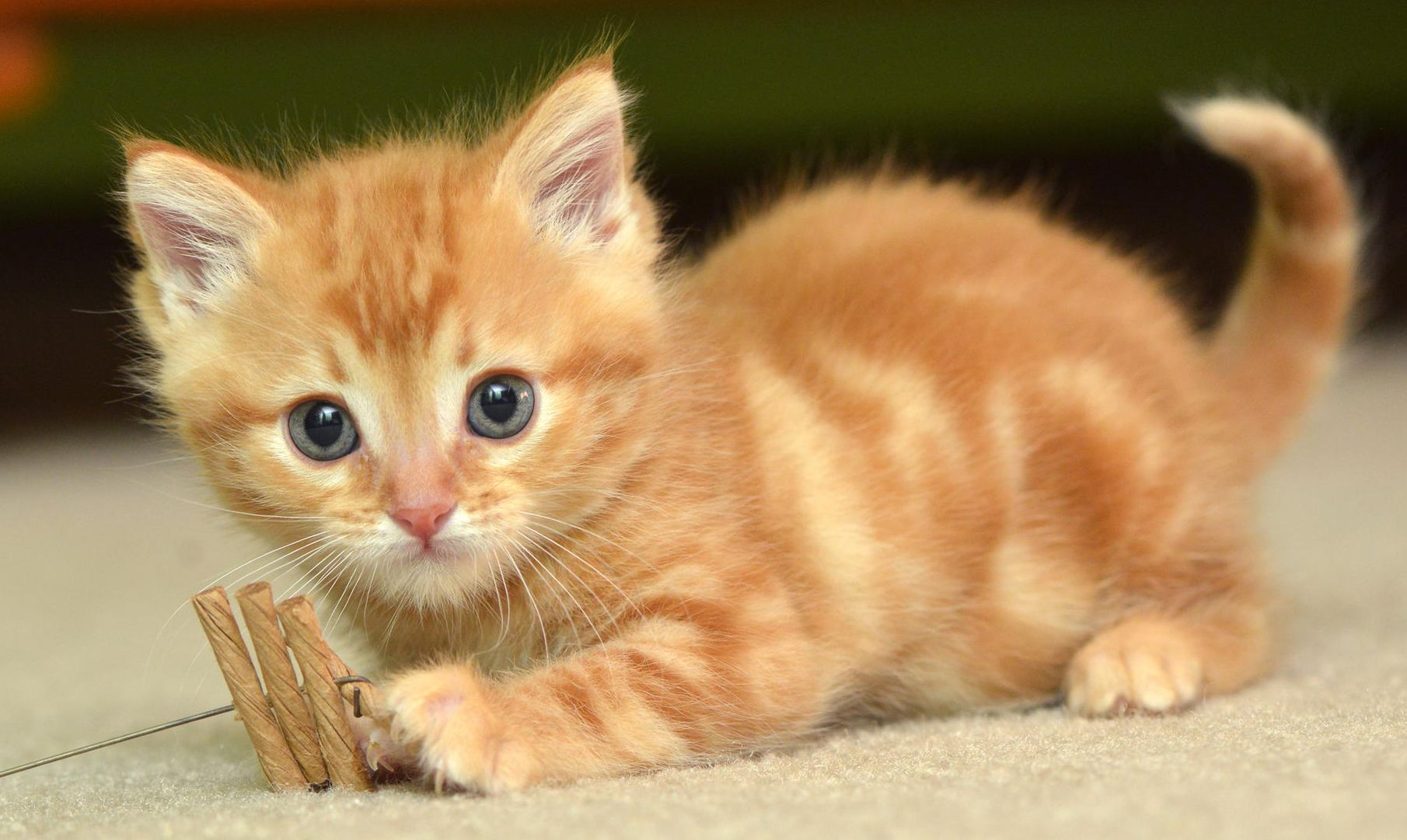 Hd Cat Wallpapers, Kitten Images, Cute Cat Photos, Claw