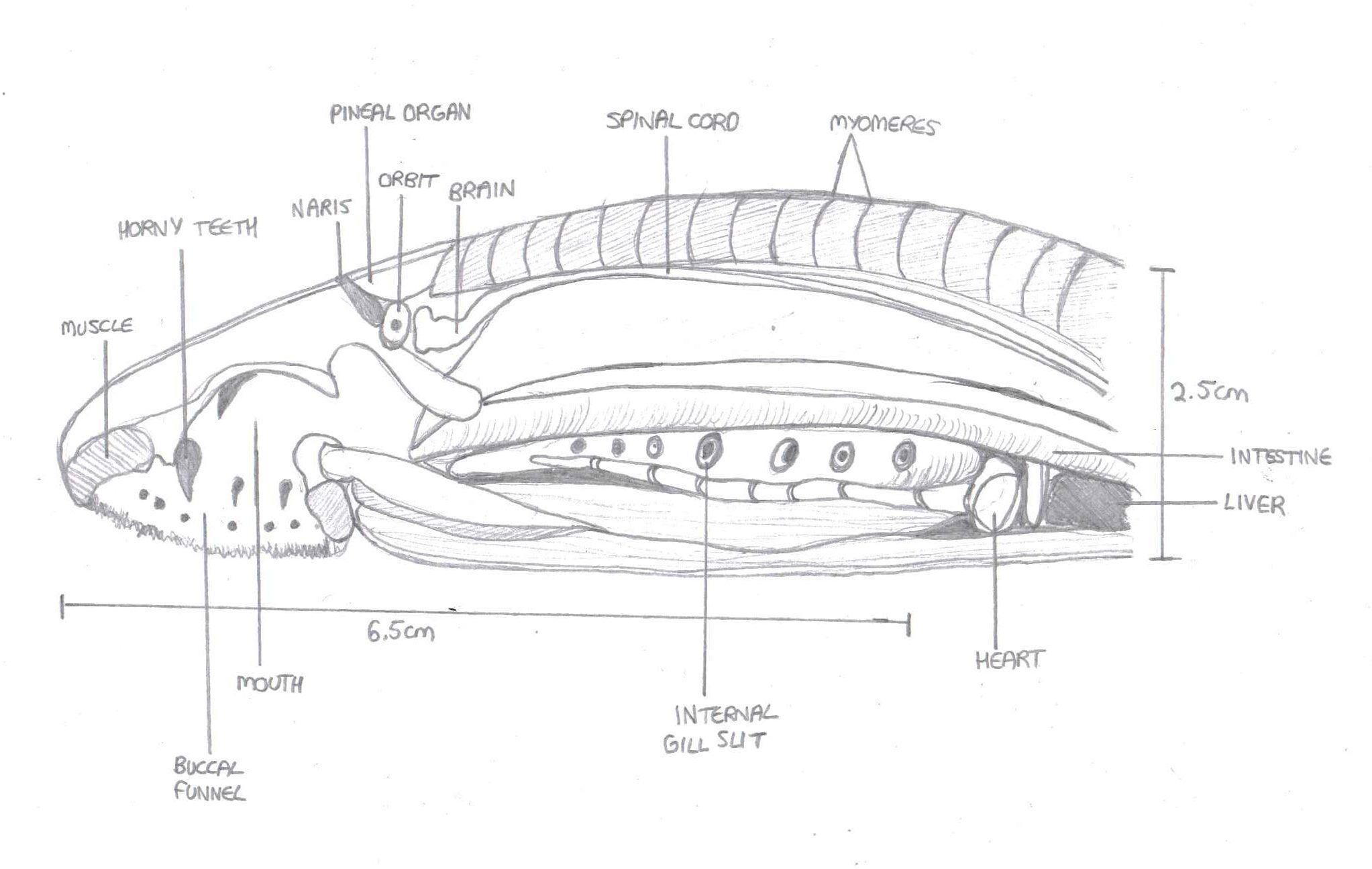 Lamprey Anatomical Diagram Lateral View