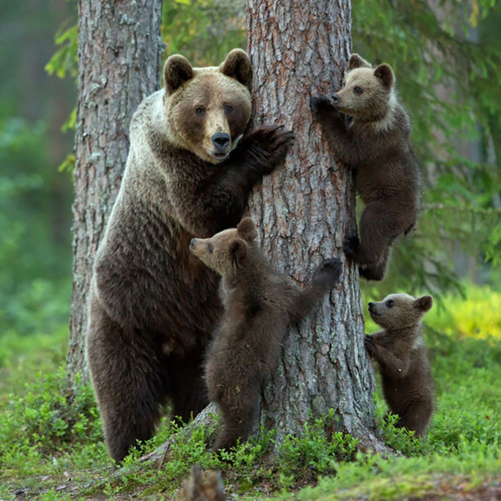 A bear family portrait. SAXOPRINT CreativeAwards Nature