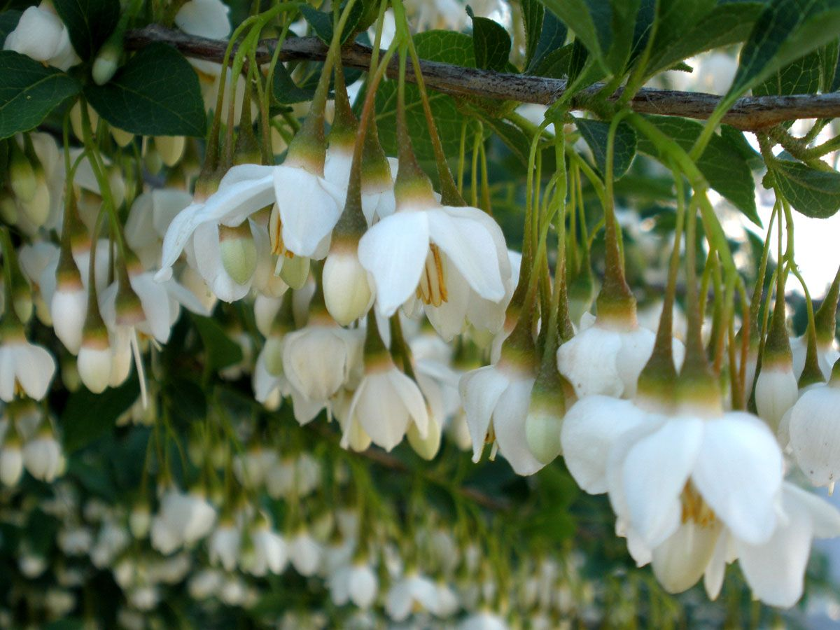 Styrax japonica PLANTS Pinterest Plants