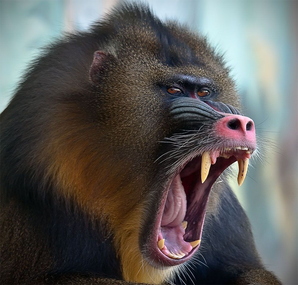 Mandril MOTU REFERNCES Pinterest Animal, Primate and