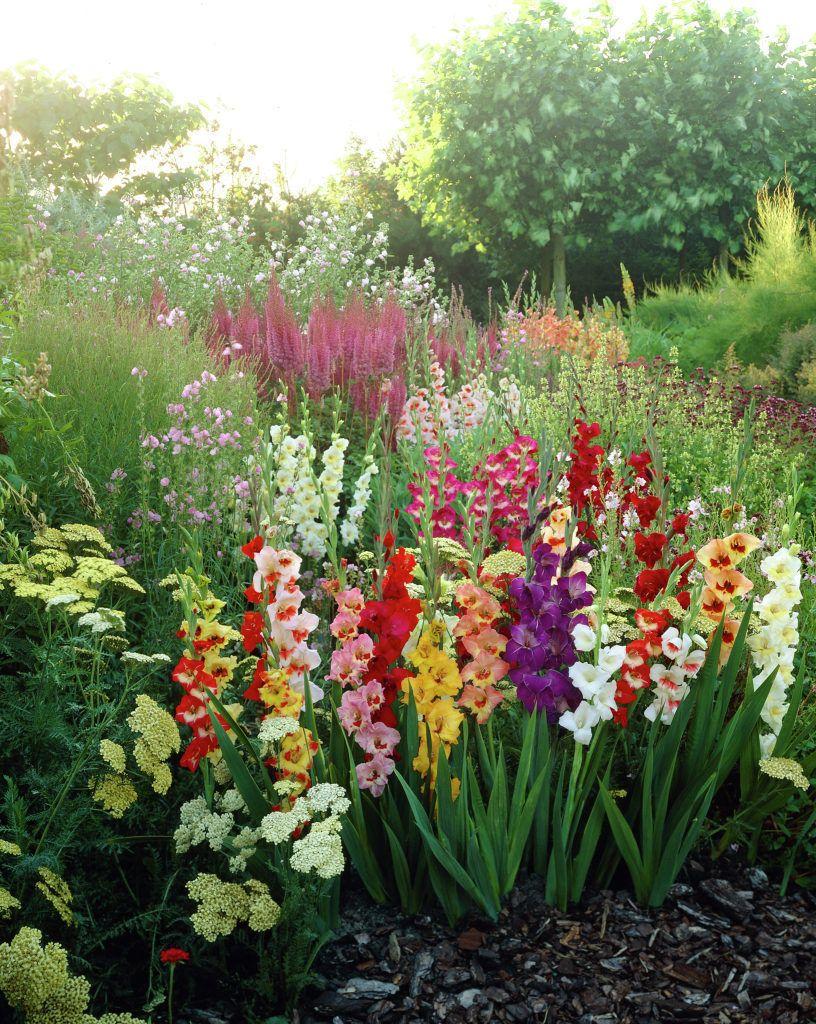 gladioli • Gladiolus • Sword lily • Plants & Flowers