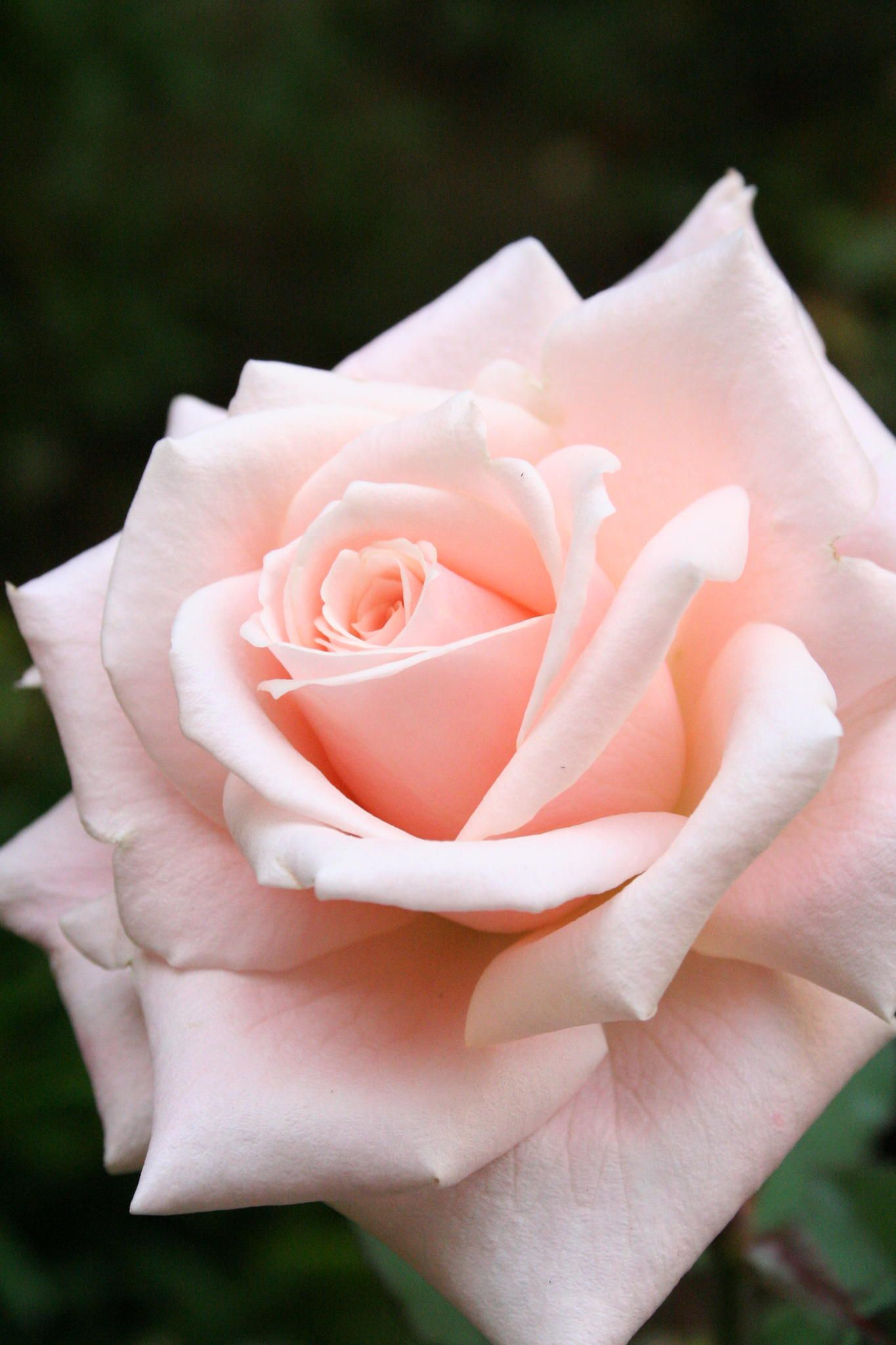 Pink Rose by iKenC via Yvonne Brodkin Reminds me of the