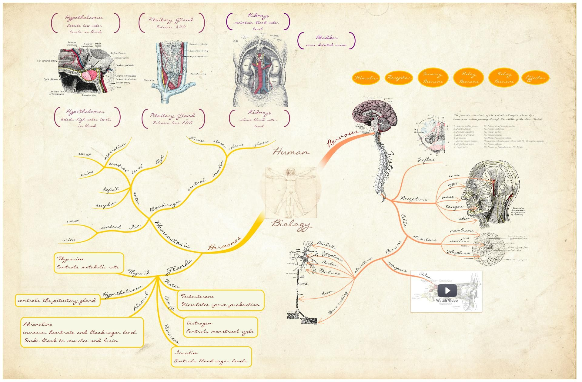 This Mind Map Based On The Textbook Gray S Anatomy By